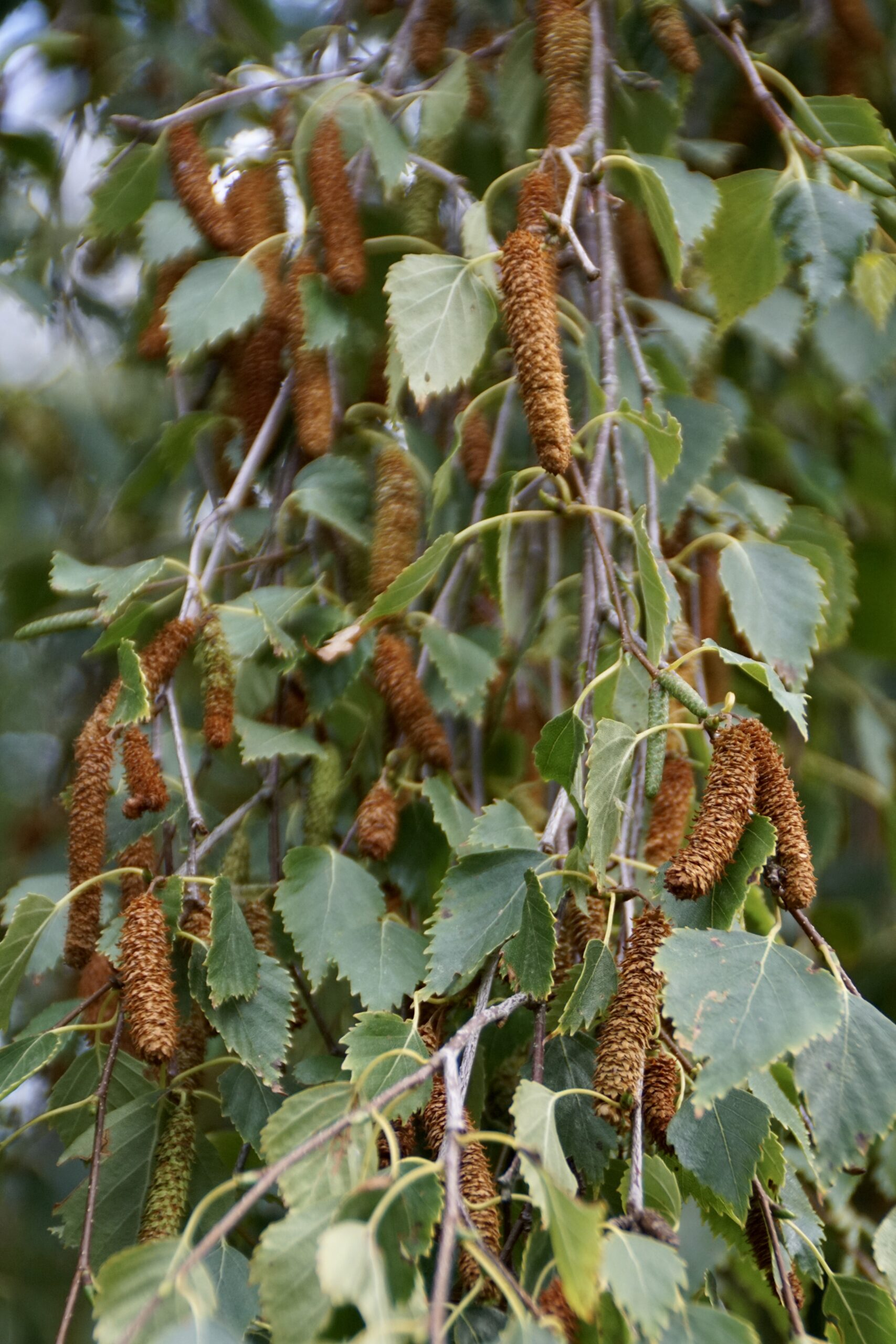 Ripe seeds on a Downy birch - July