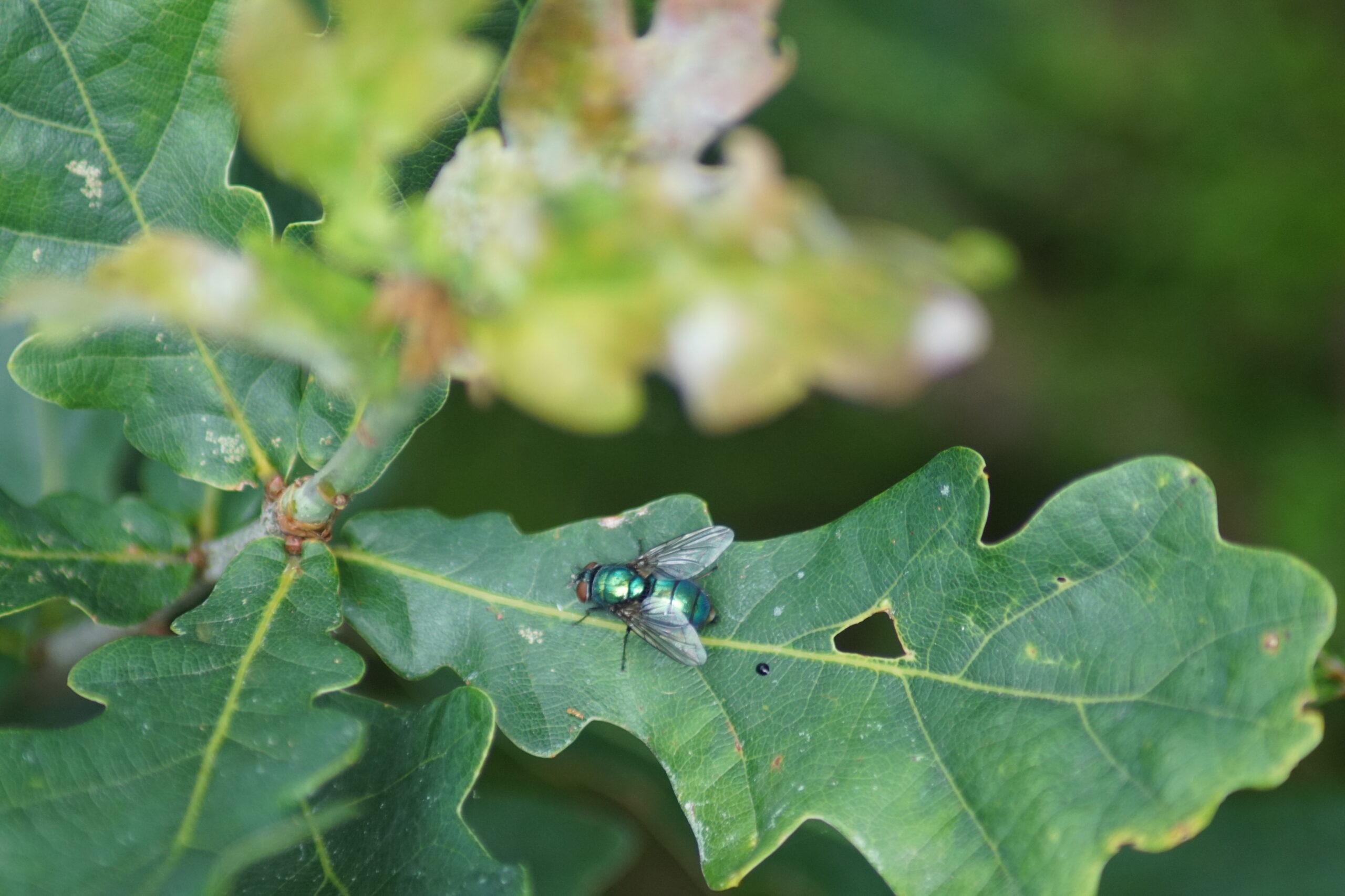 Possibly - House fly - Neomyia viridescens