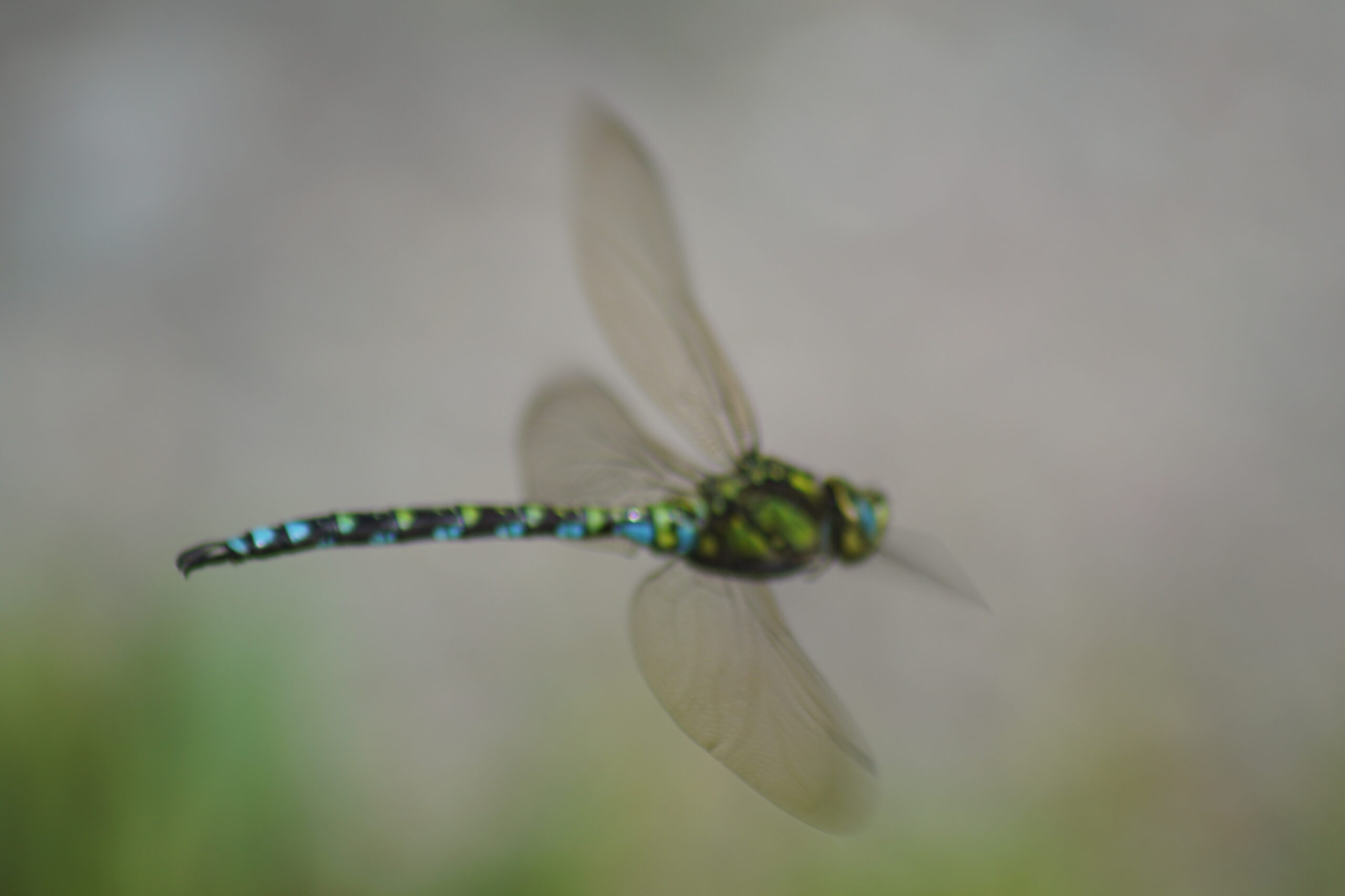 Dragonfly - Southern hawker (male)