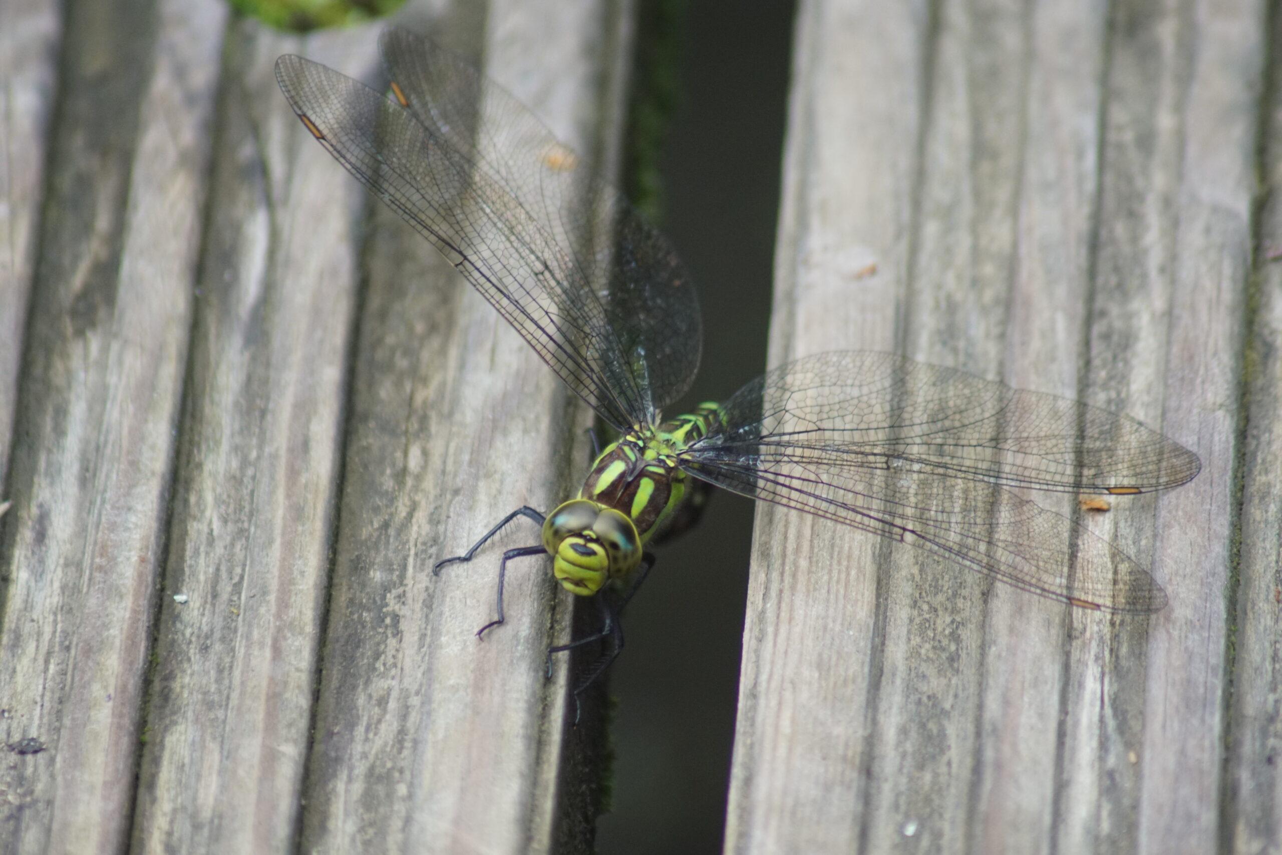 Dragonfly - Southern hawker (female)