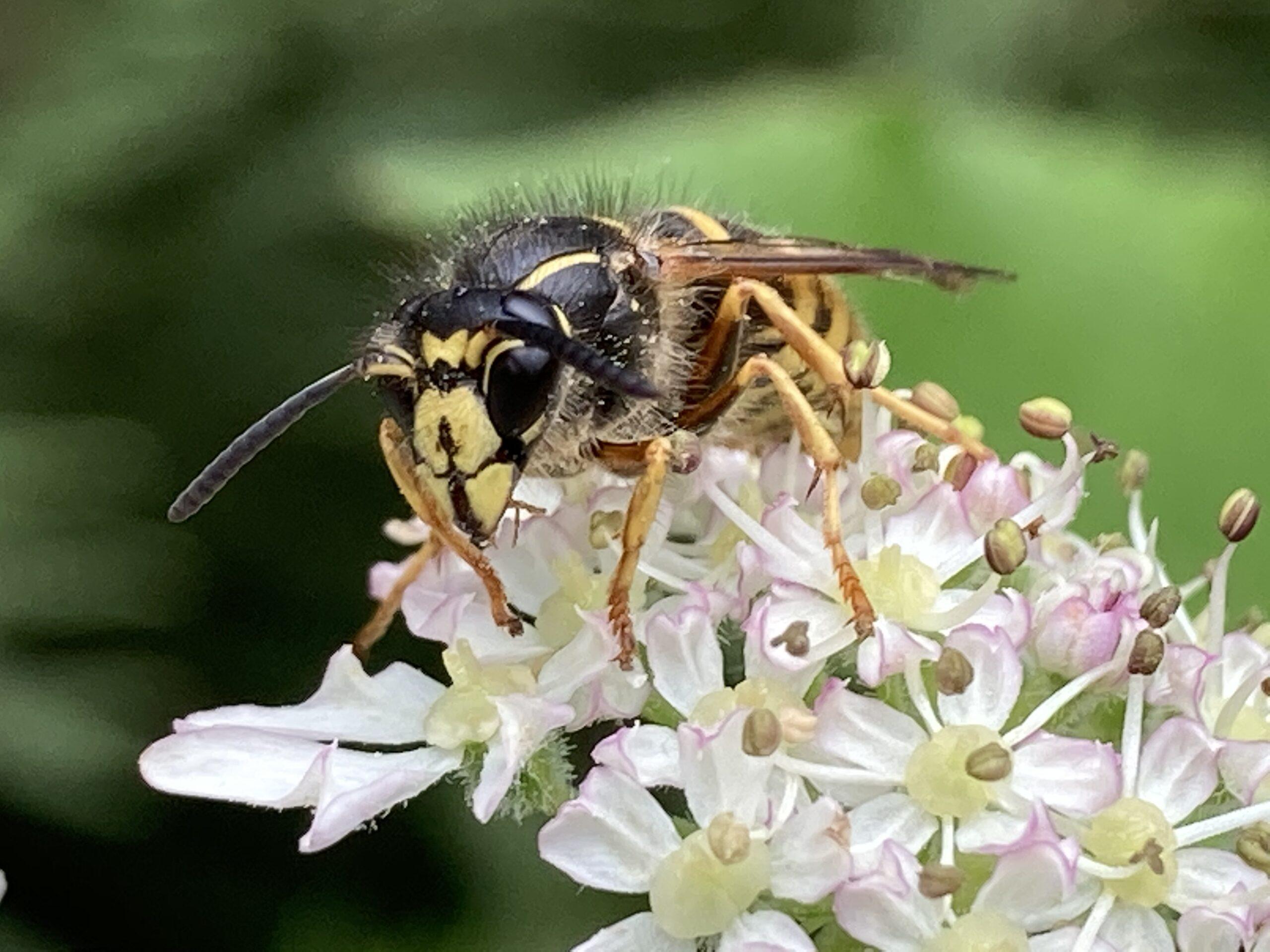 'Saxon wasp' Dolichovespula saxonica