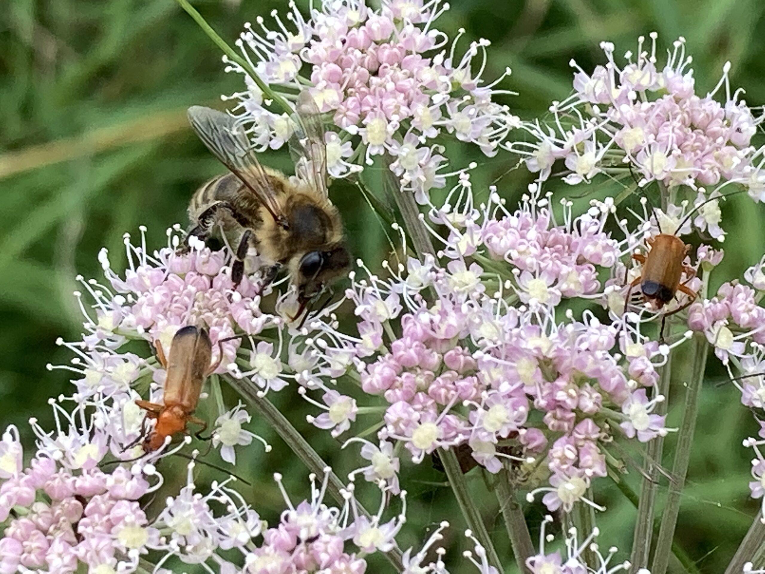 Dark European honey bee