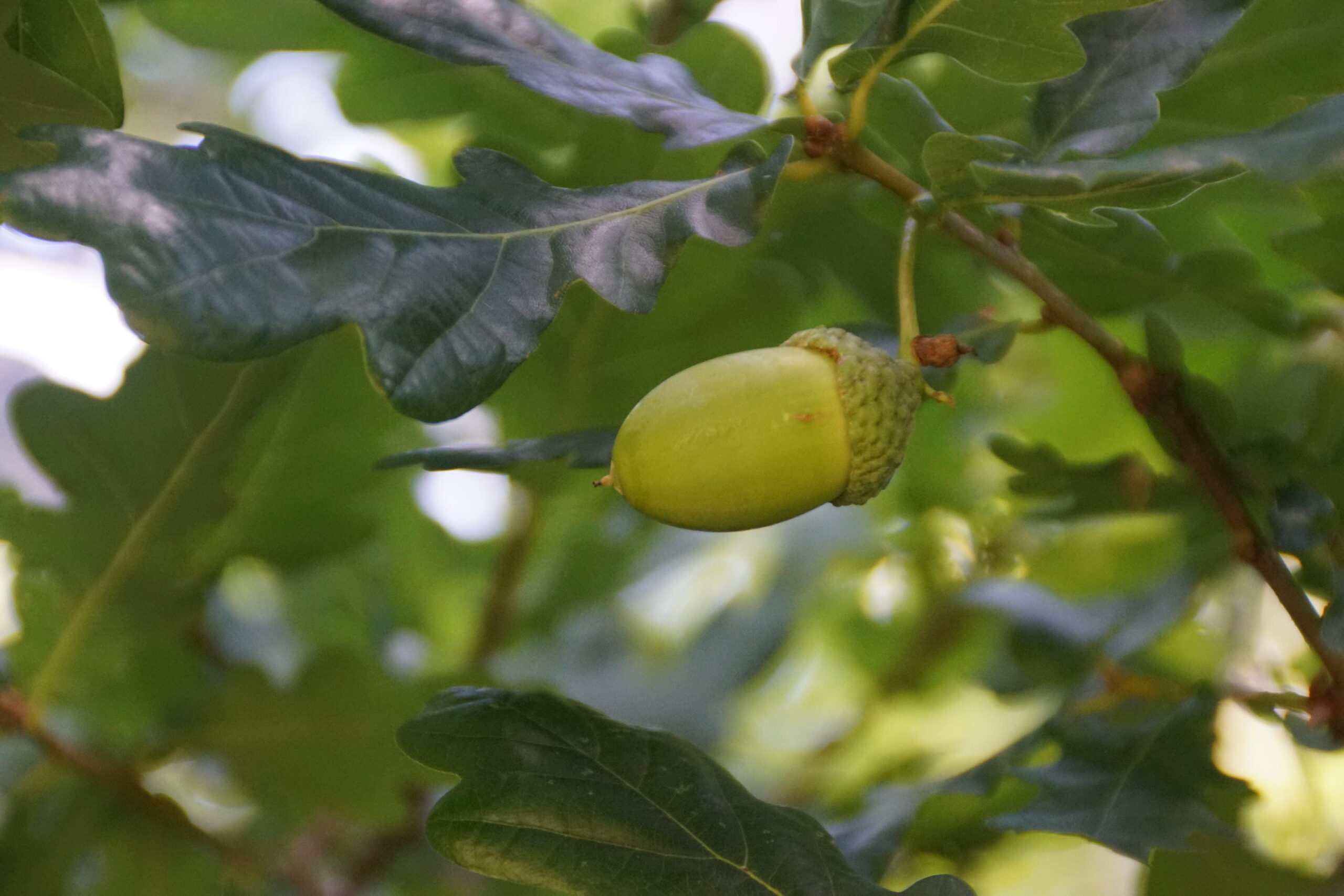 Acorns on an English Oak (Quercus robur)