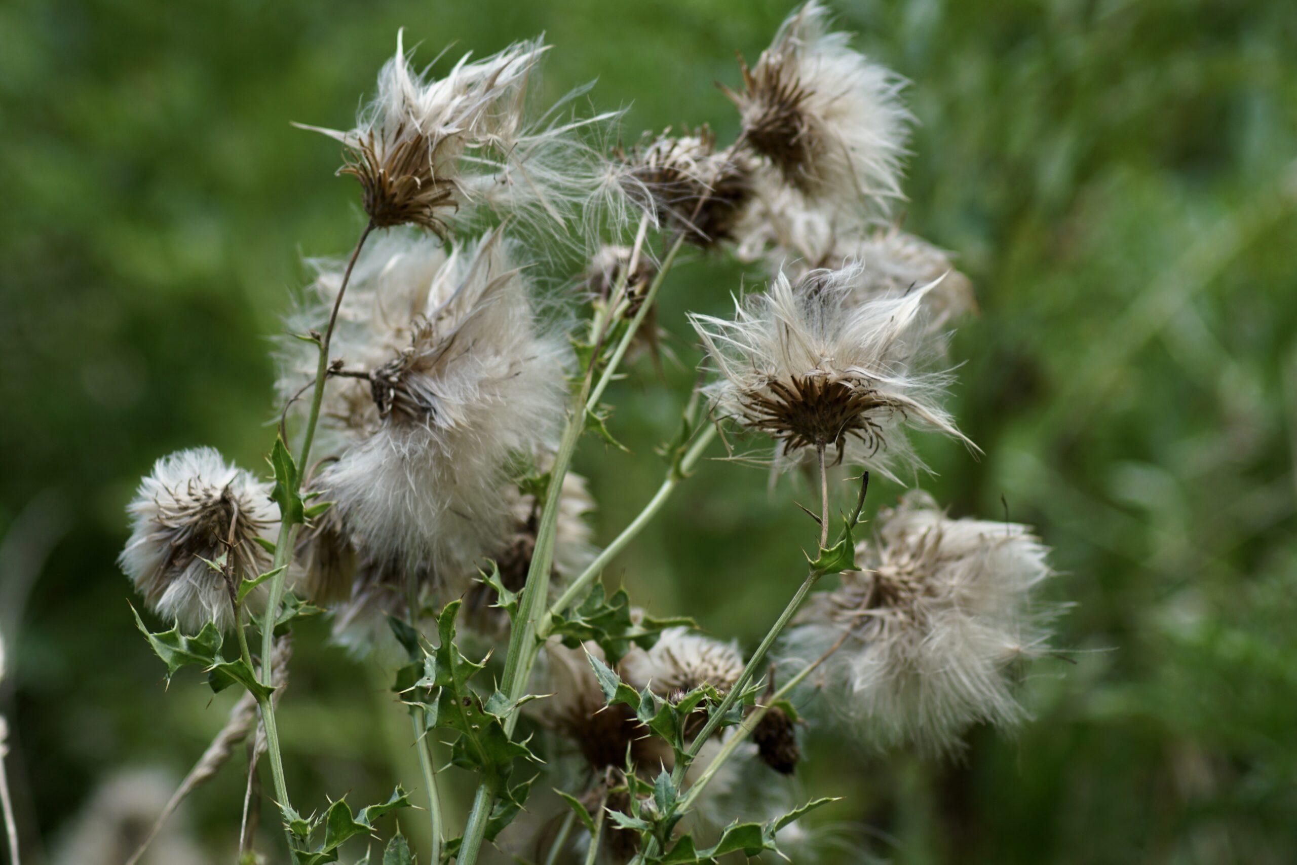 Seeds on knapweed