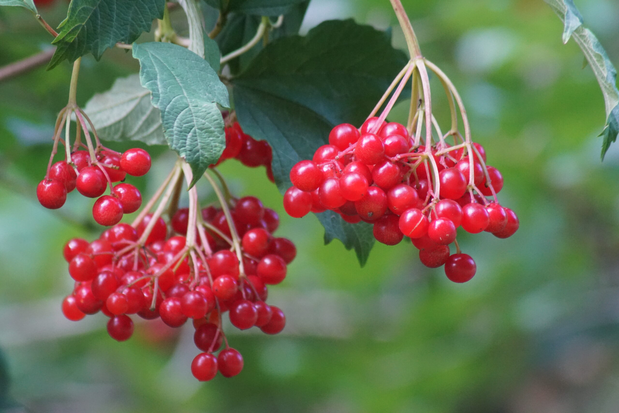 Berries on the guilder rose