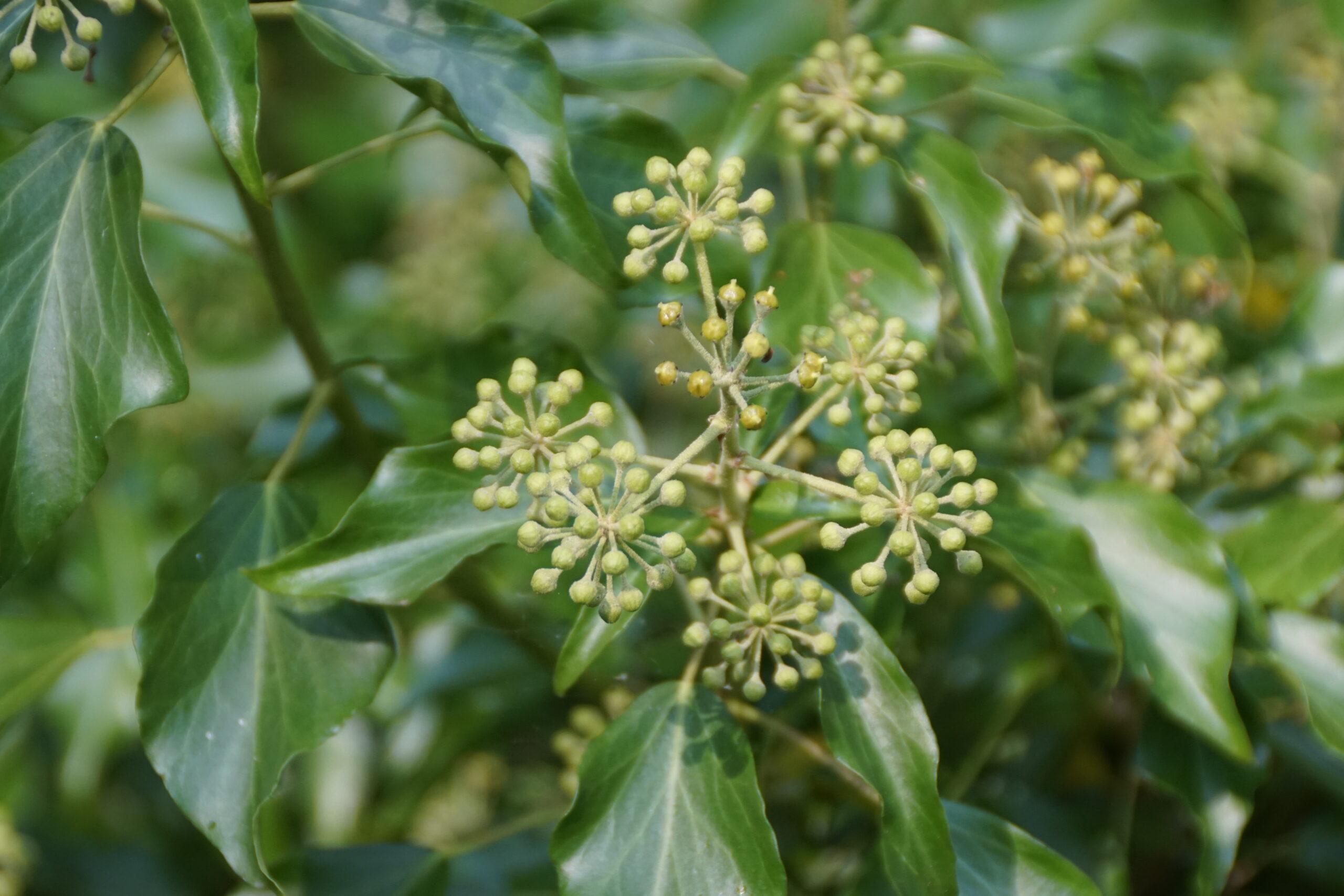 Flowers on Ivy - September