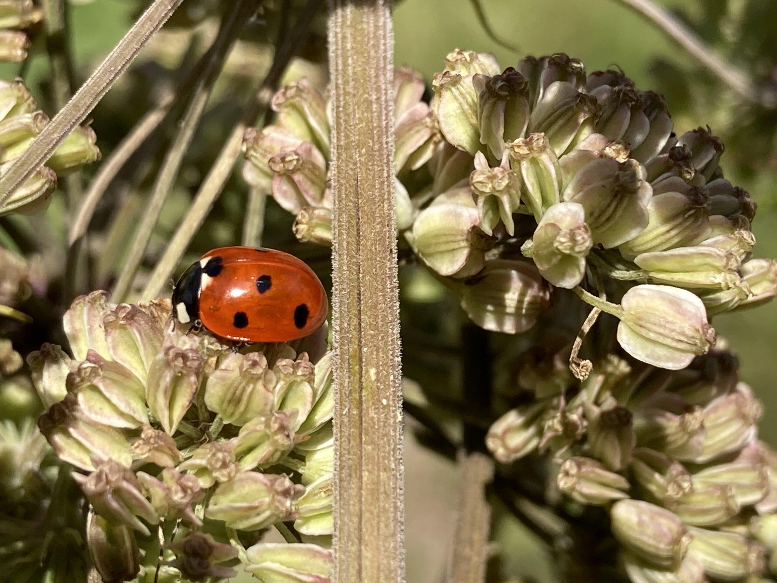 Sevenspot ladybird (Coccinella septempunctata)