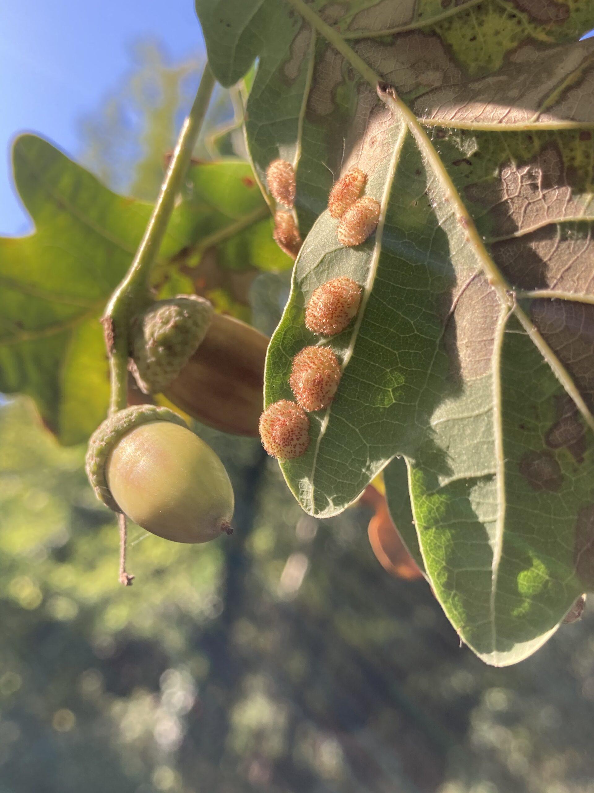 Common spangle gall (Neuroterus quercusbaccarum) oak leaves