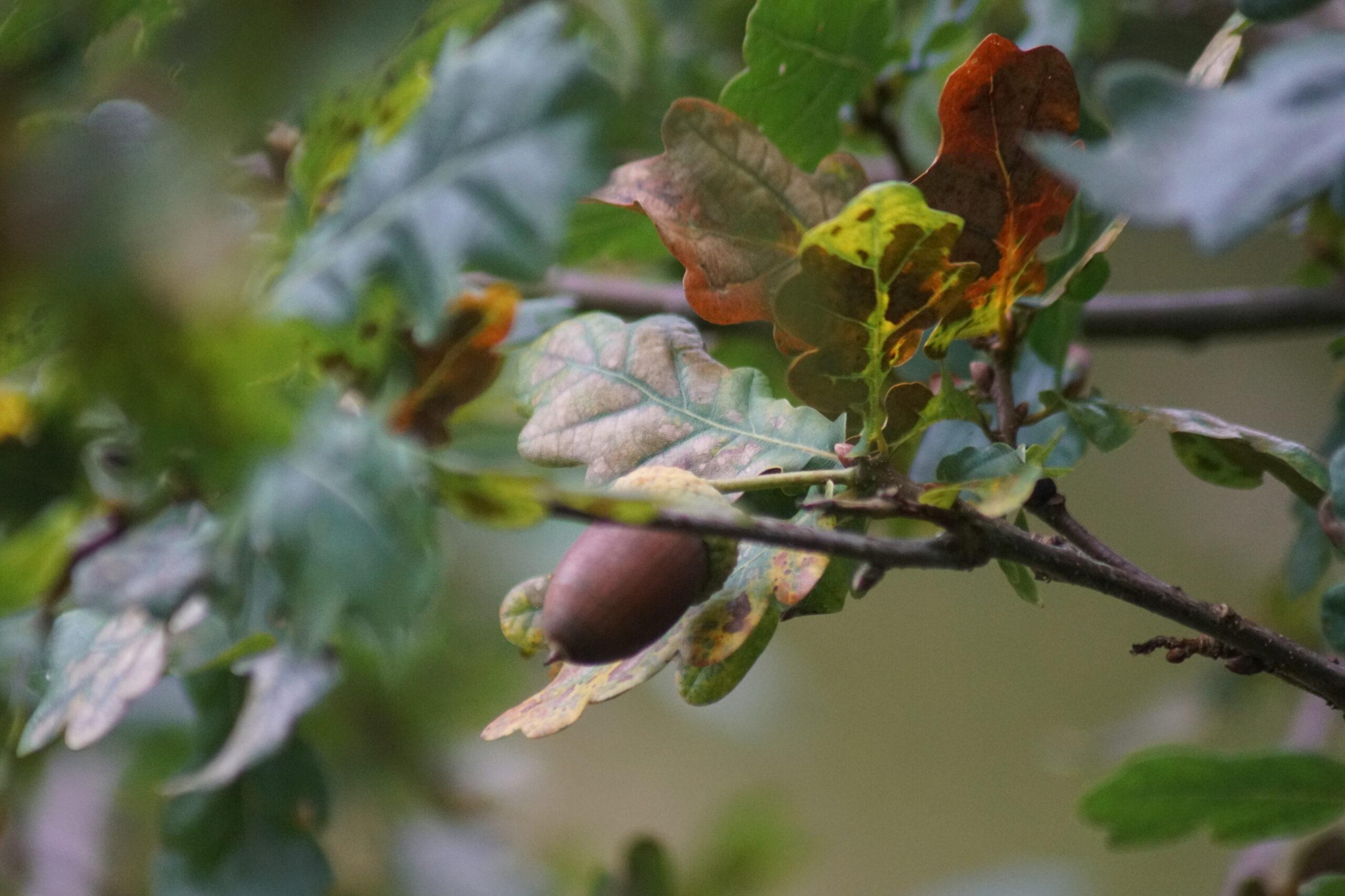 Acorns ripen on an English Oak (Quercus robur)