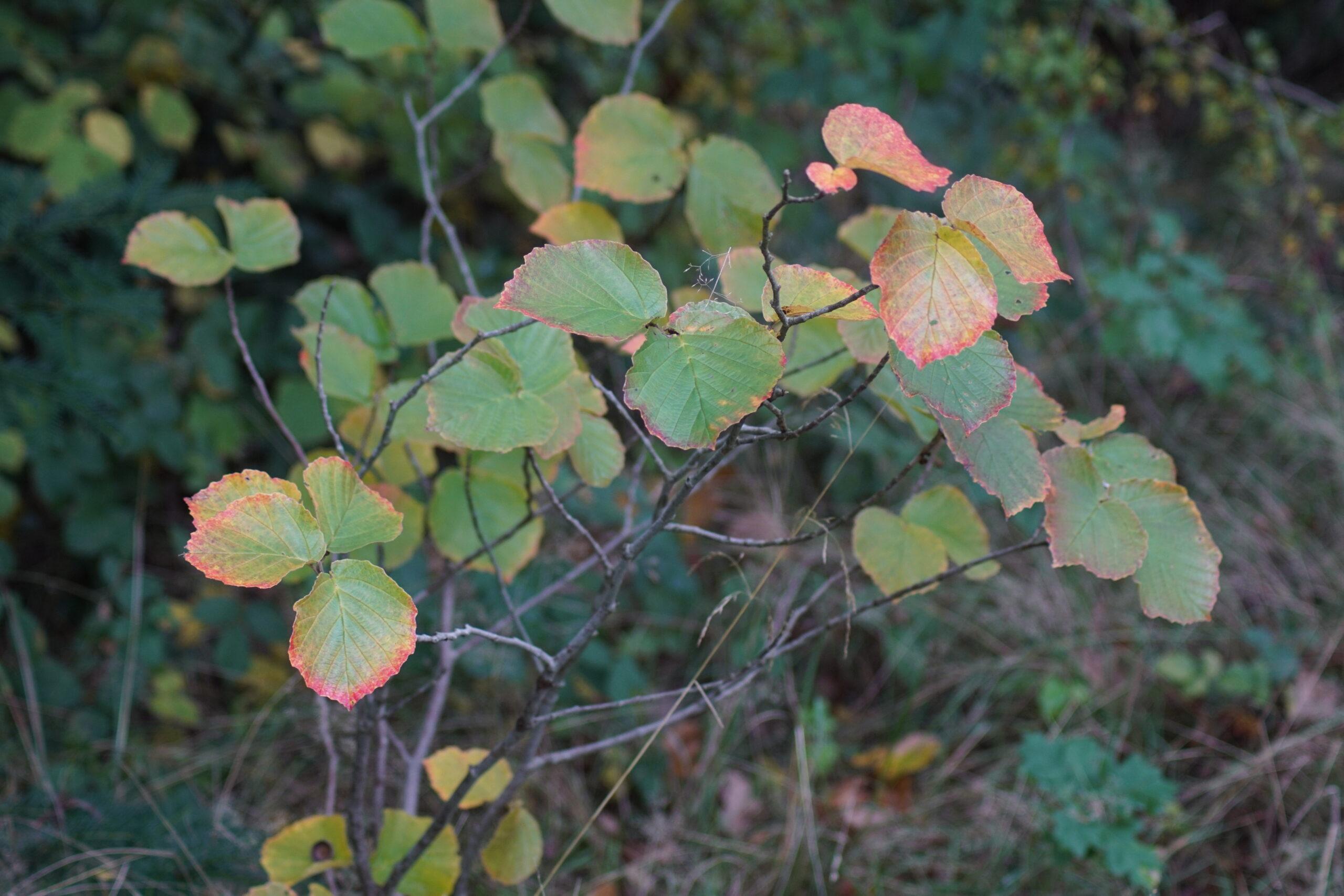 Common Hazel - Corylus avellana