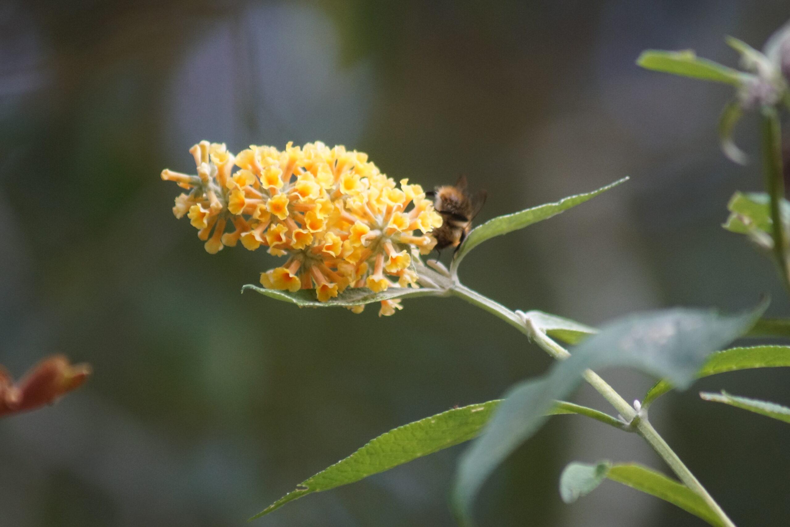 Flowers on  yellow buddleia
