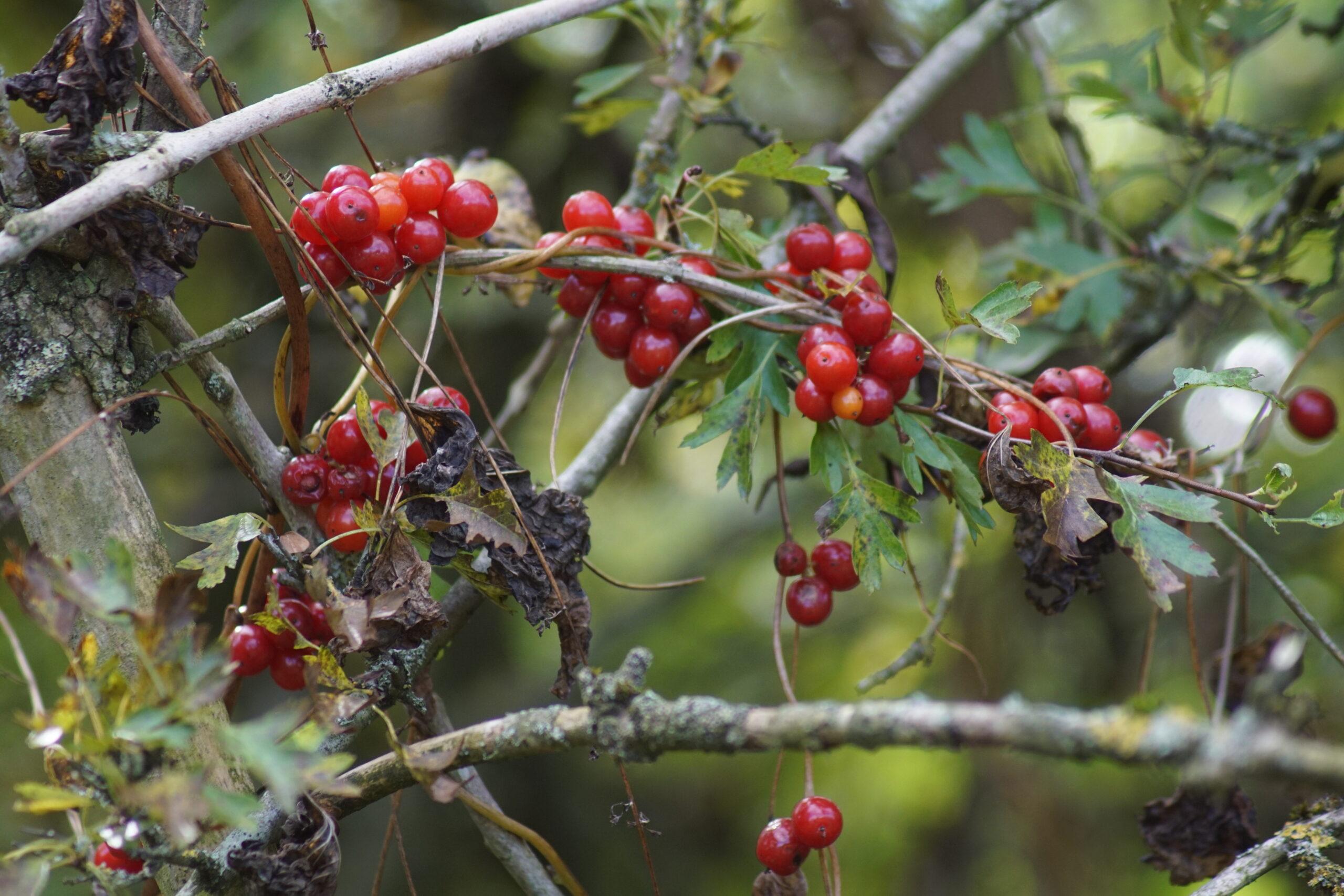 Berries on bindweed