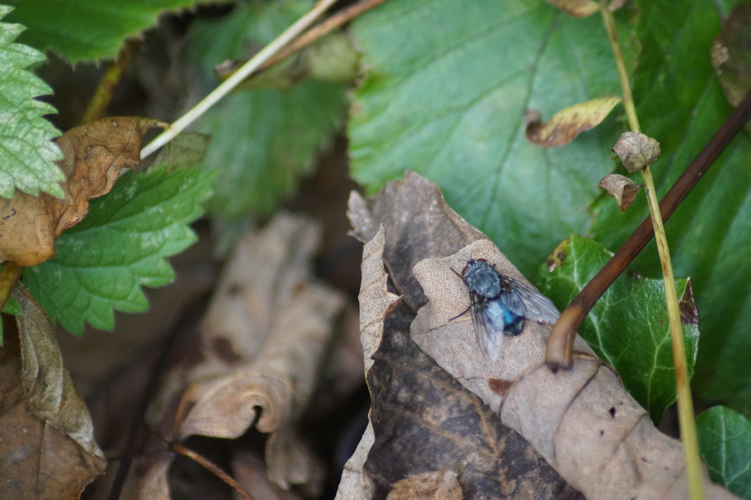Bluebottle  - possibly Calliphora vicina
