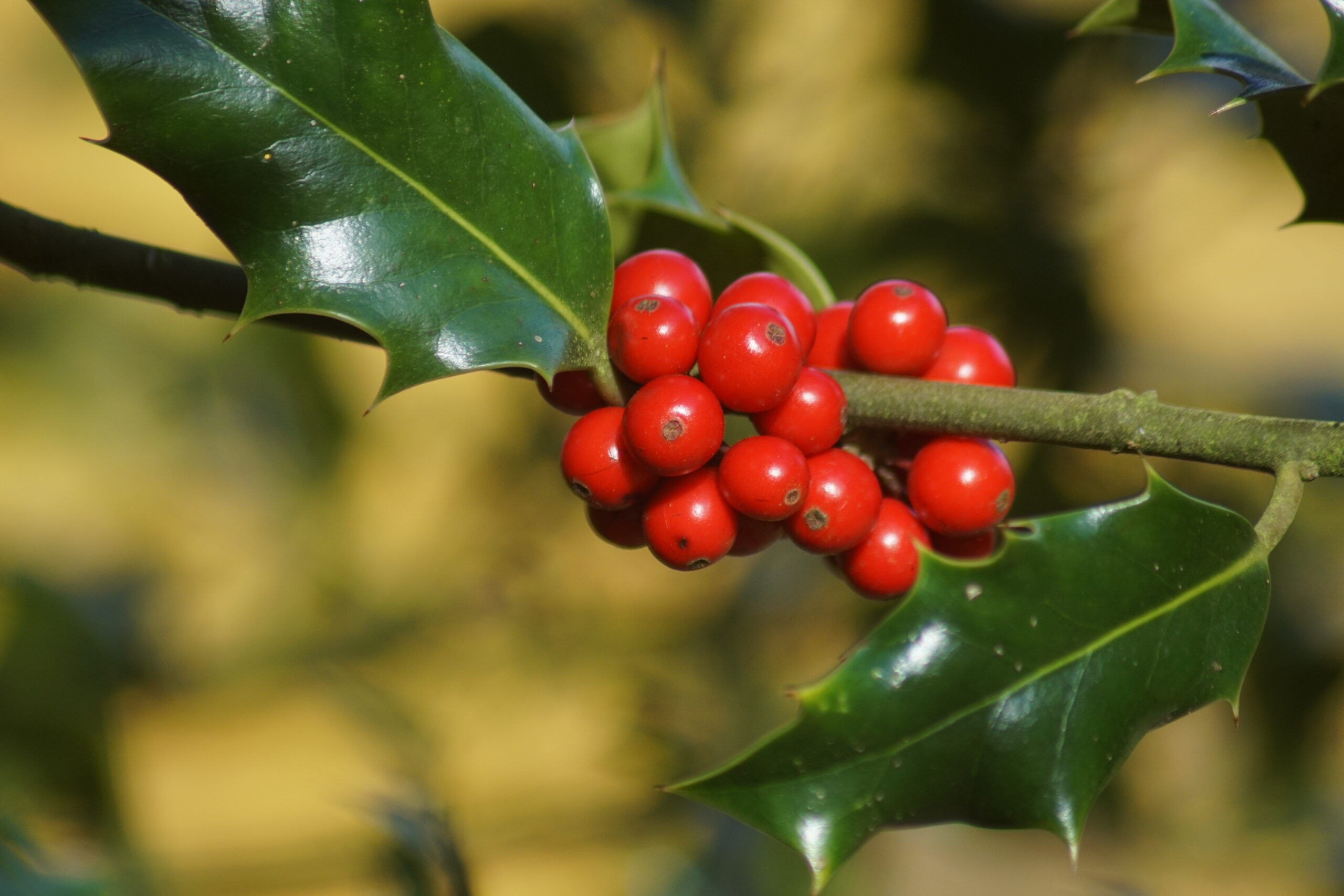 Berries on the holly