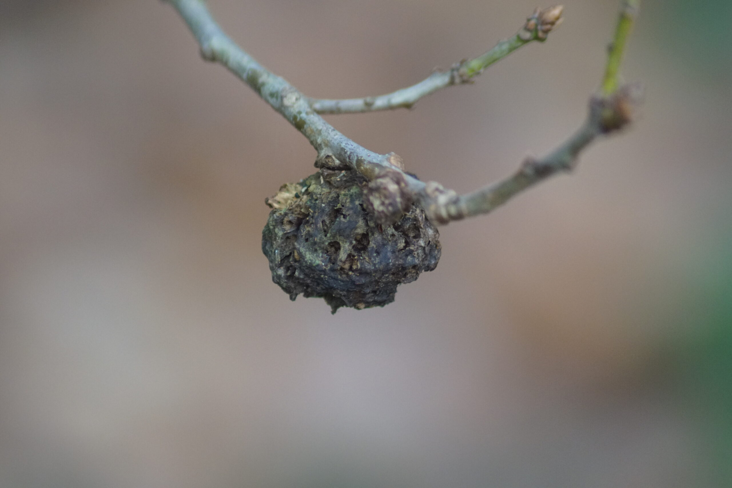The remains of Knopper Gall produced by the Andricus quercuscalicis Gall Wasp