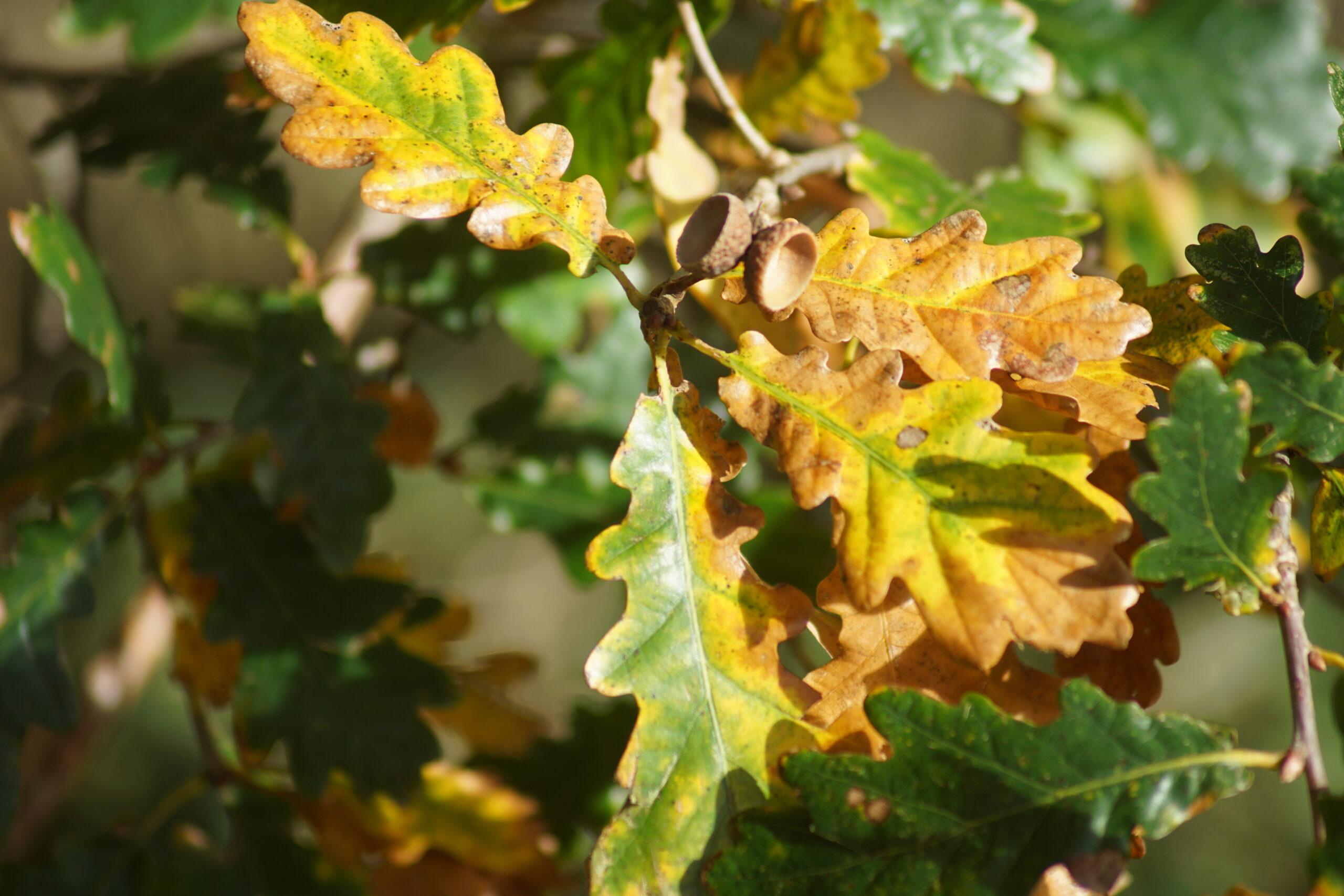 Fallen acorns on a Sessile Oak (Quecus petraea)