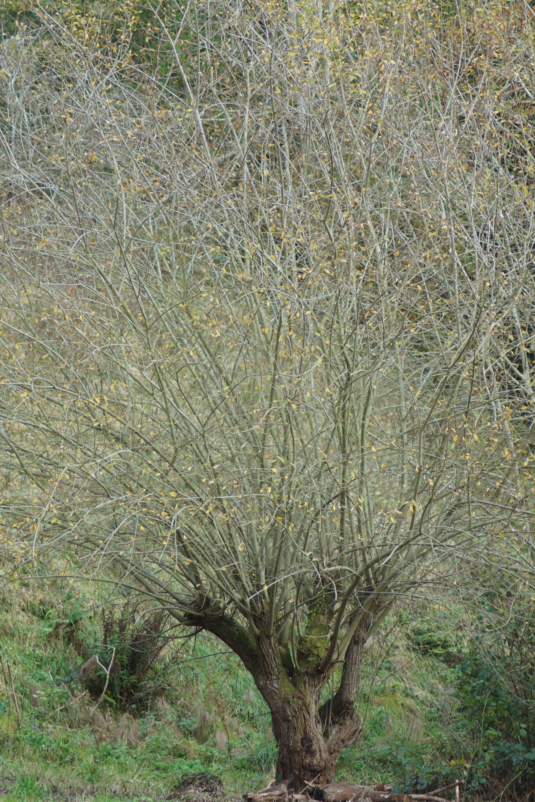 Bay willow