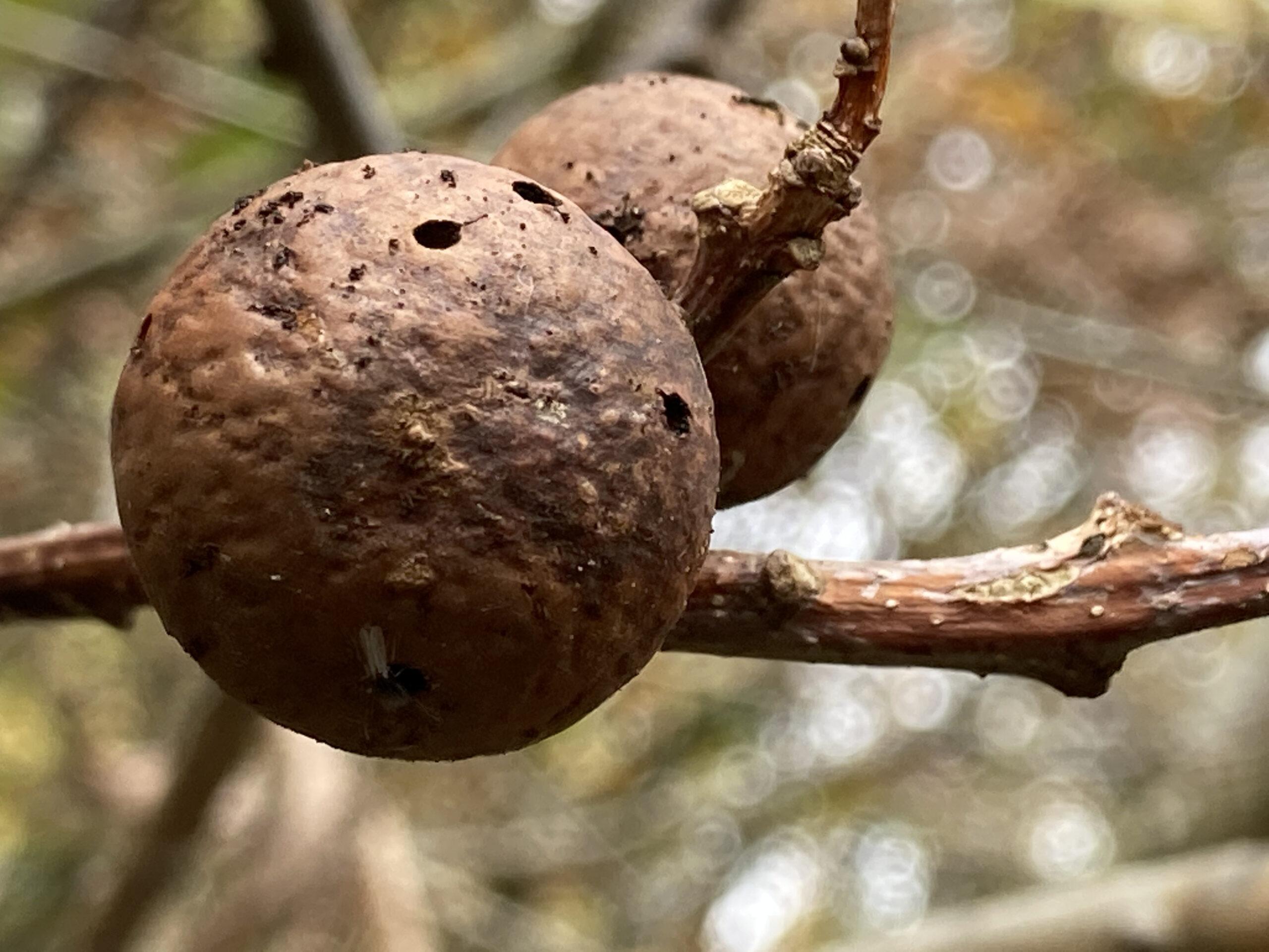 Oak Apples - the Gall of the Biorhiza pallida Wasp