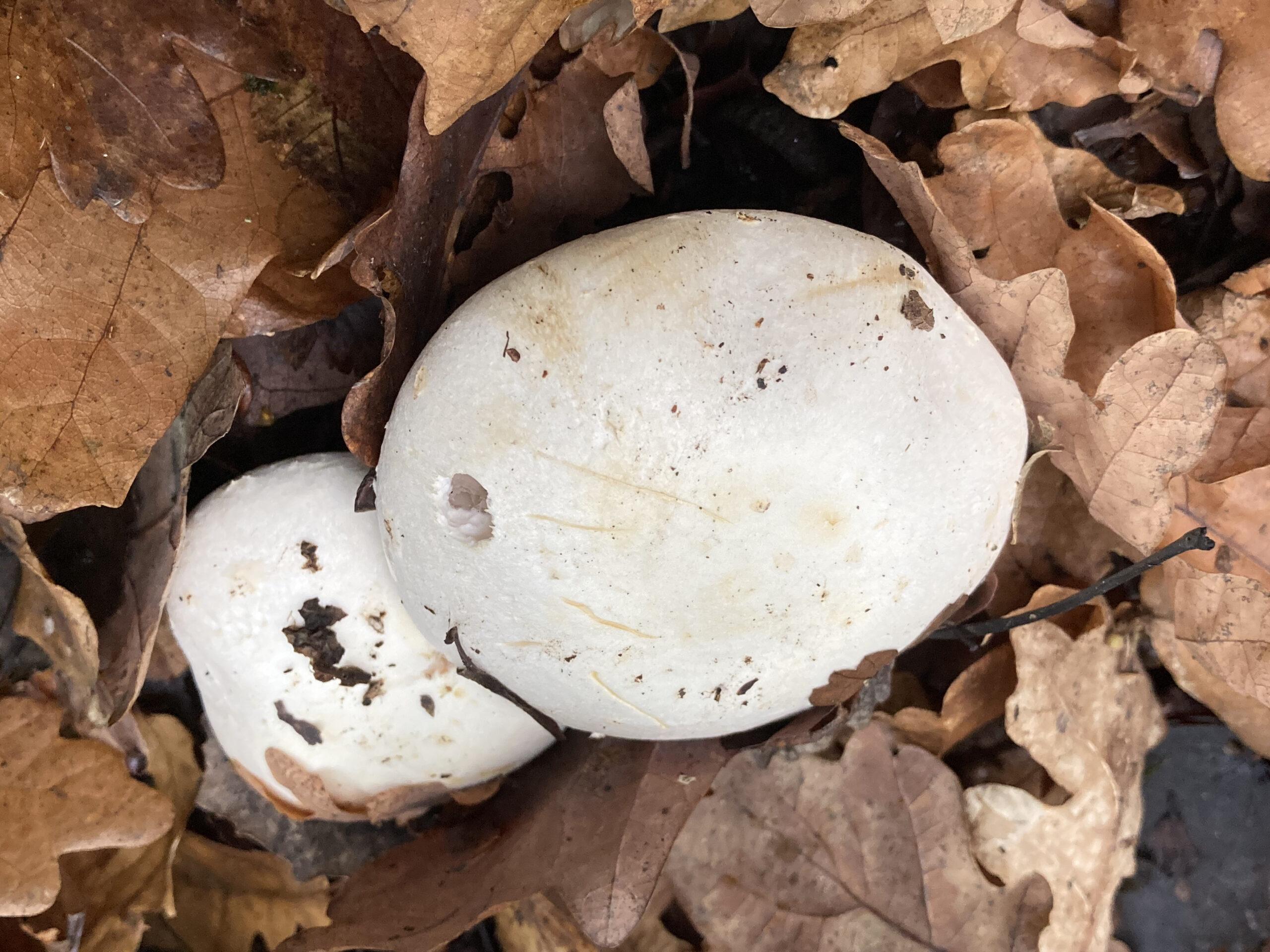 Yellow-staining mushroom (Agaricus xanthodermus)