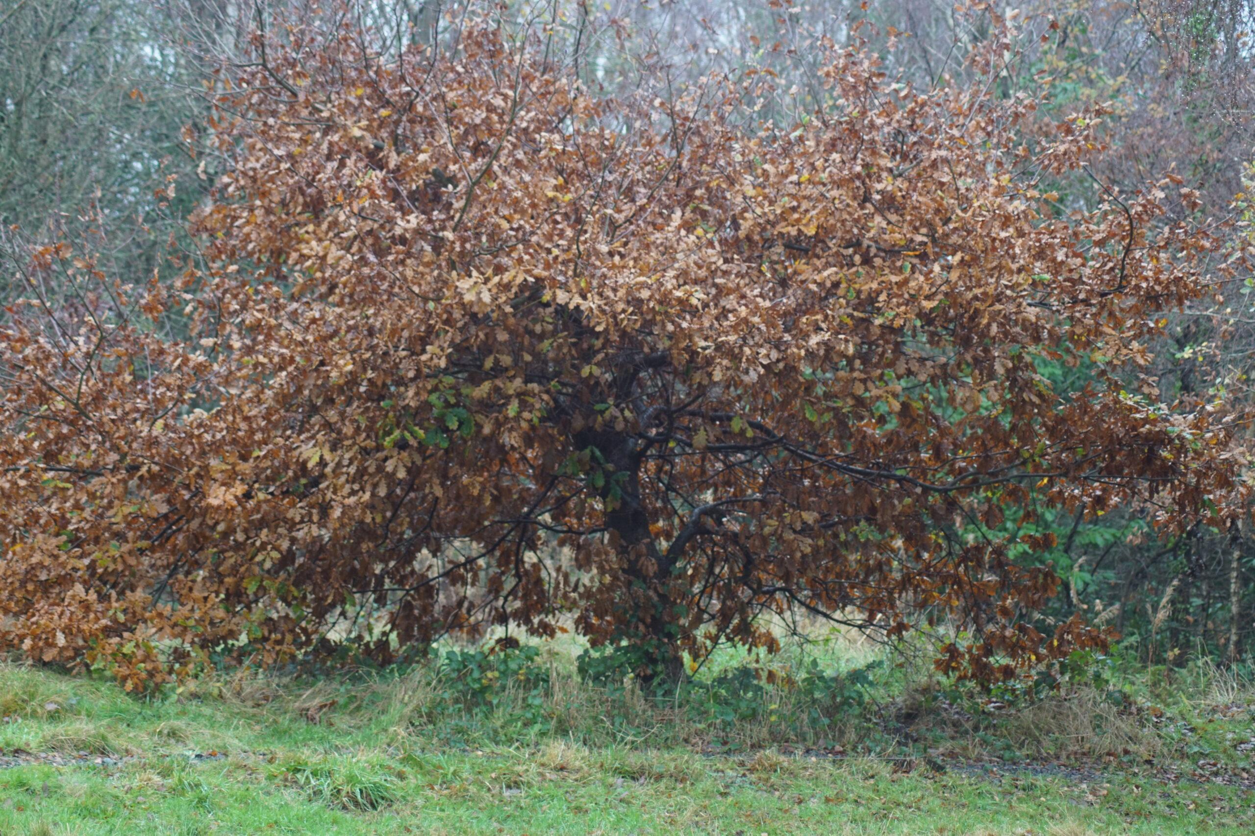 An Oak on the Heath