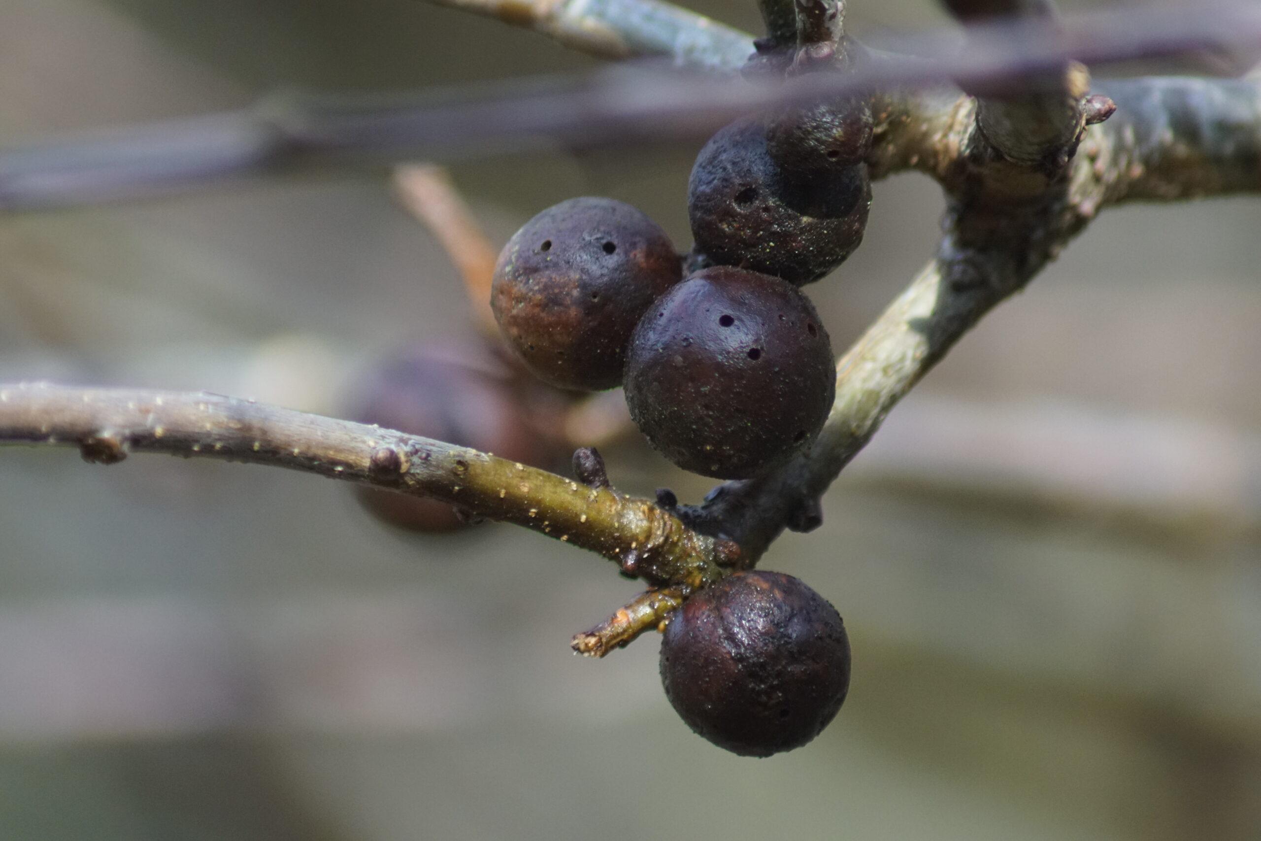 Oak Apples -