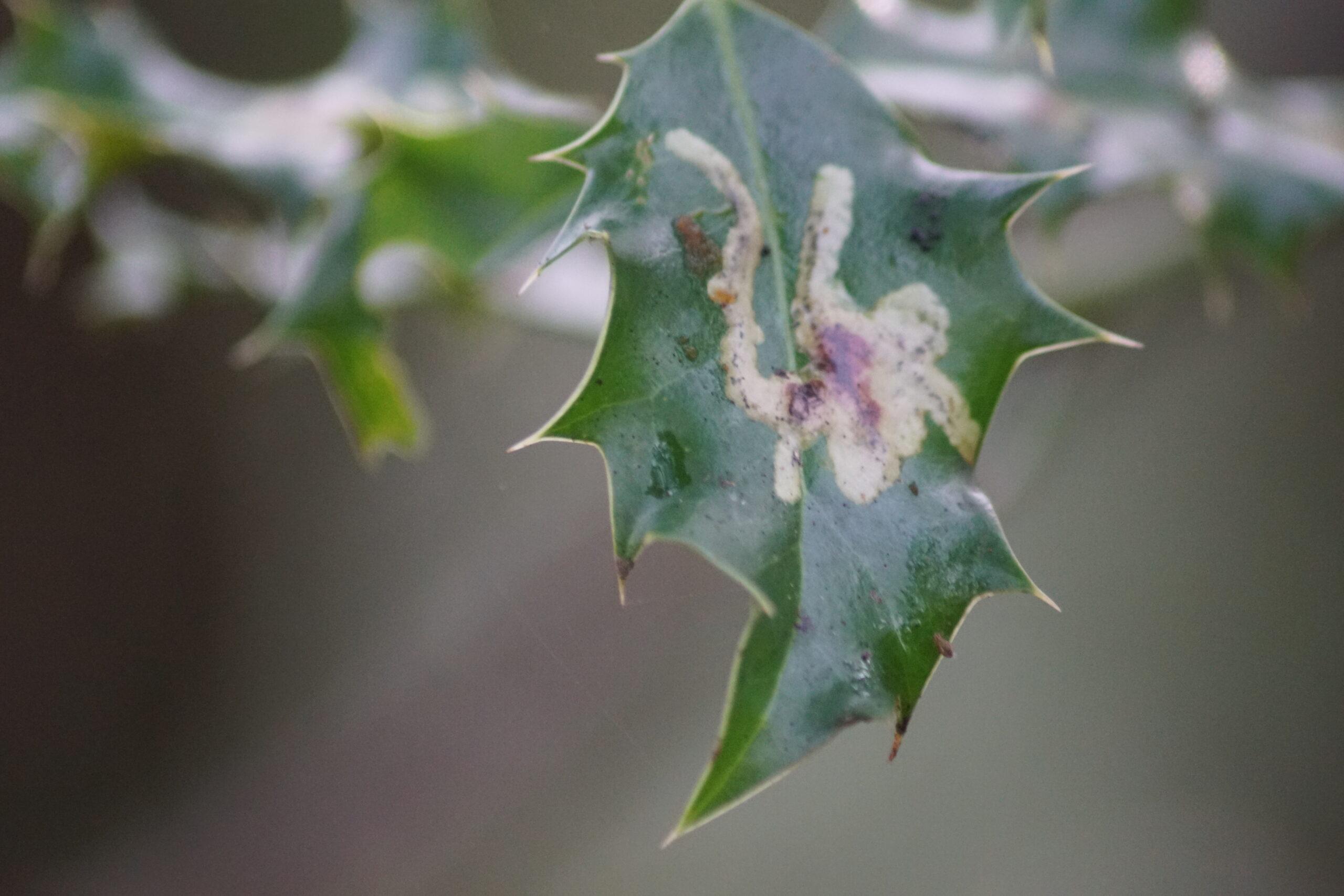 Holly leaf Gall