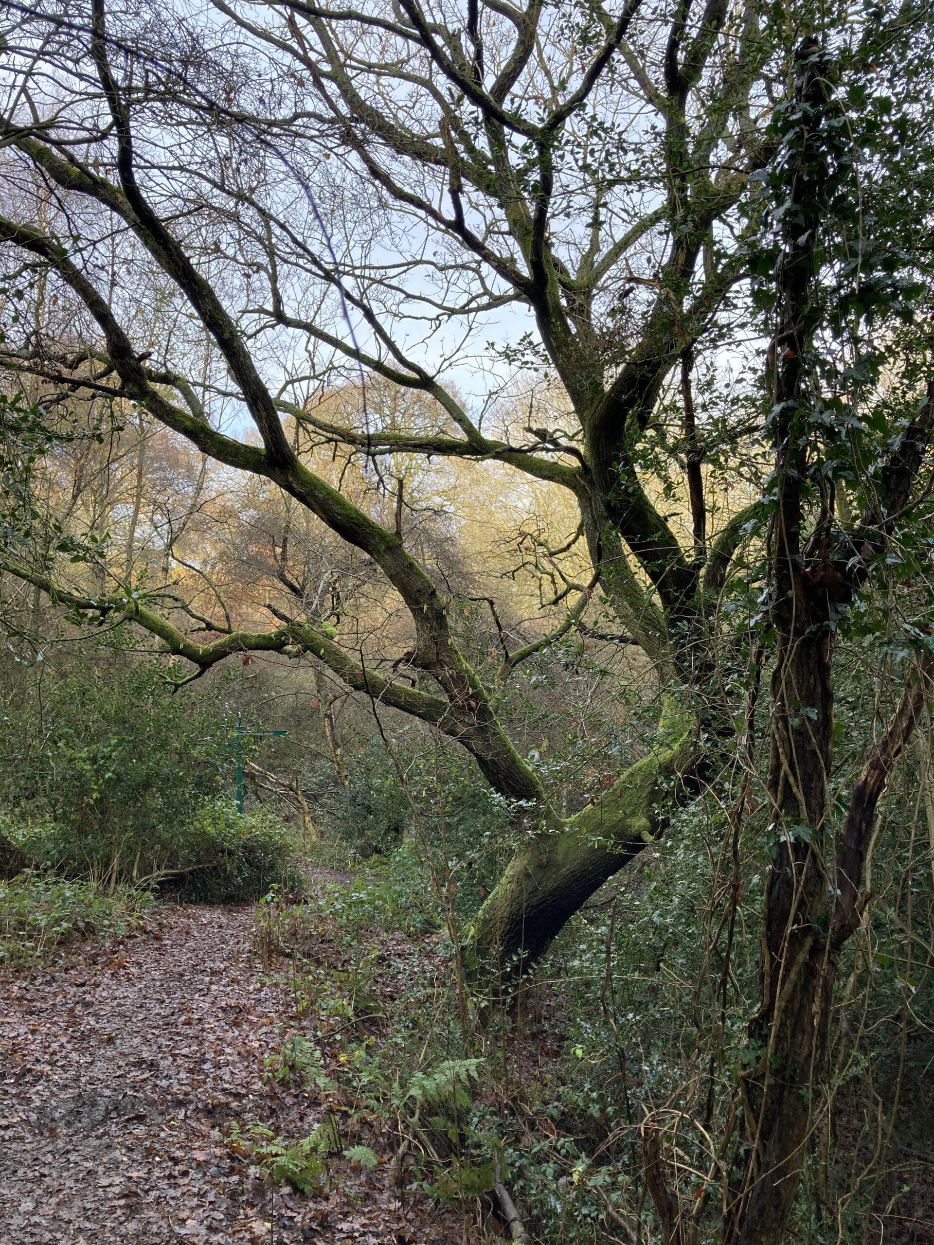 An Oak on the Woodland Path