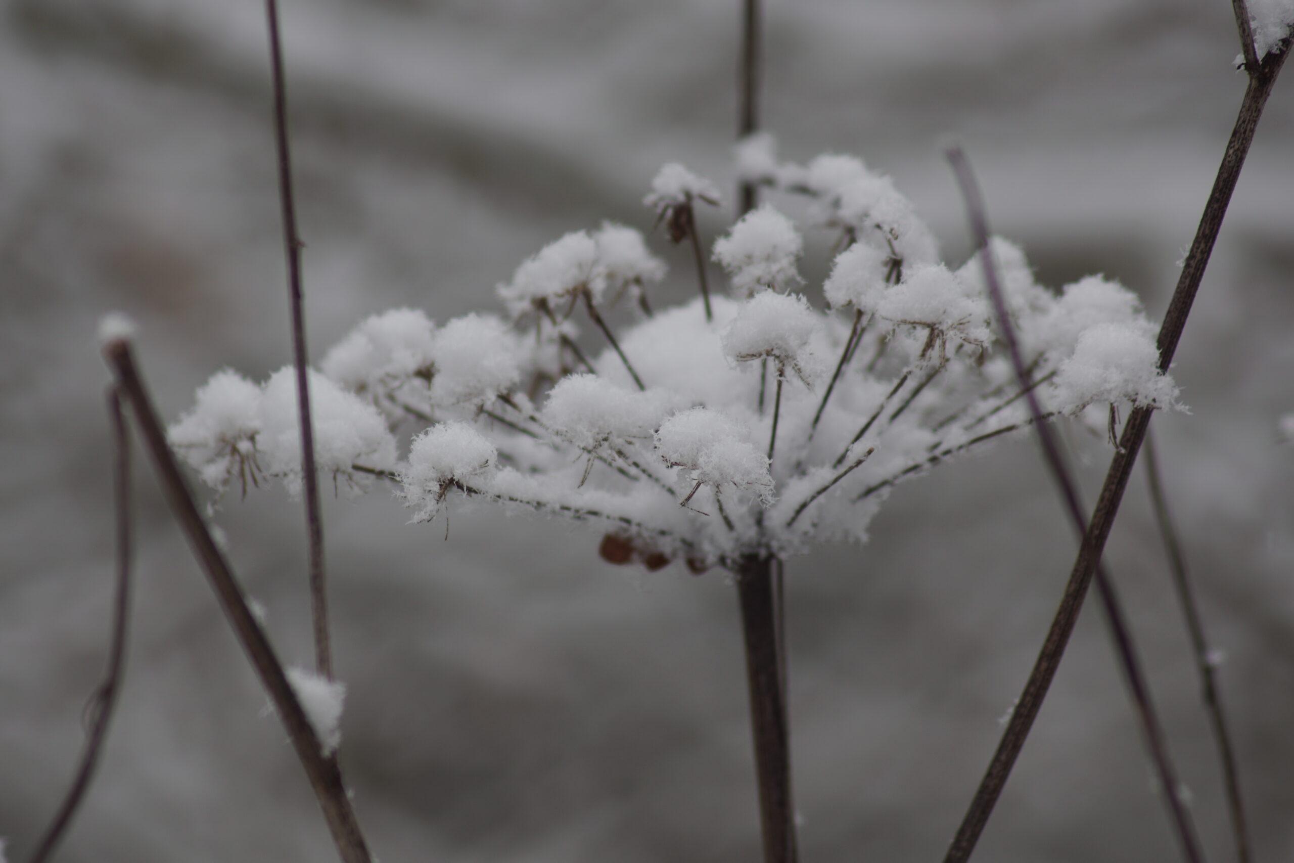 Dead Pignut Flower in Snow