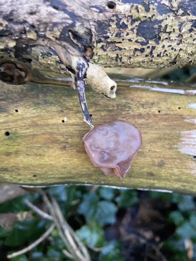 Wood ear - Auricularia auricicula-jadae
