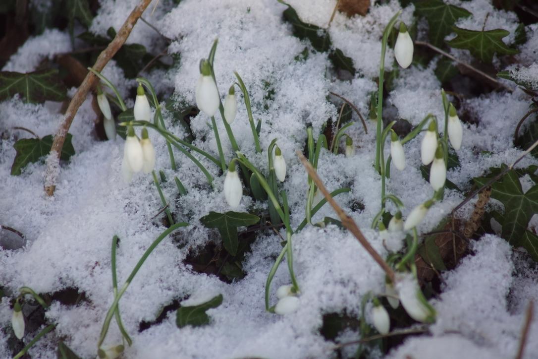 Snow Drops