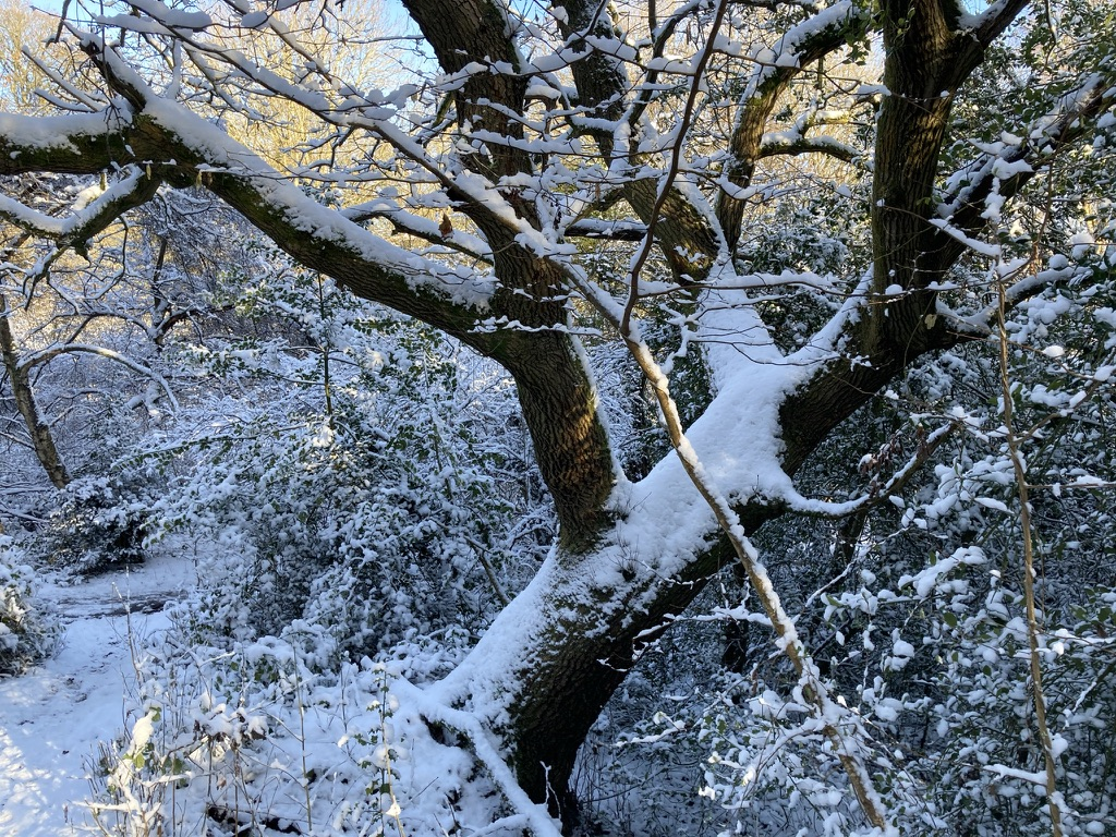 Oak tree at junction of the Woodland Path and the Bridle Way