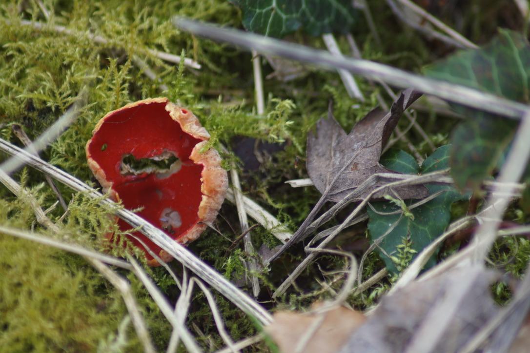 Scarlett elfcup Sarcoscypha austriaca