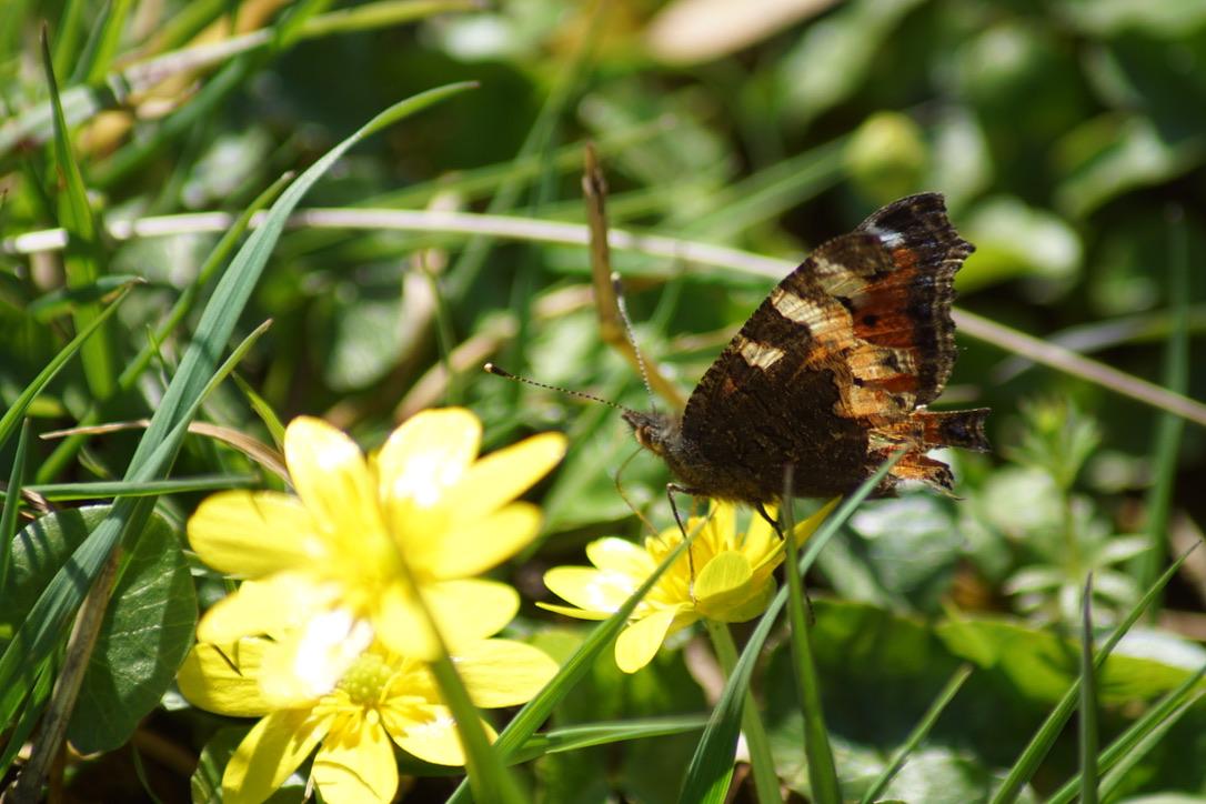 Tortoiseshell butterfly feeding on Lesser celandine