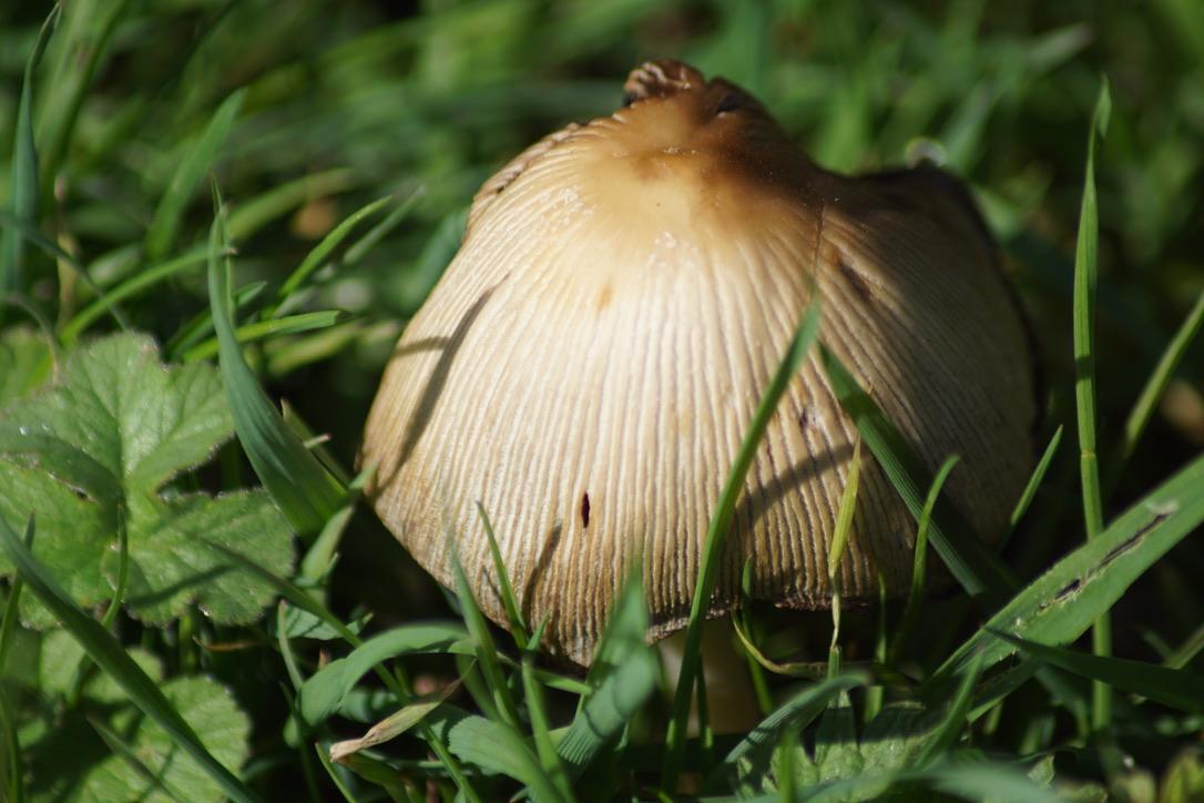 Mica cap - Coprinellus micaceus
