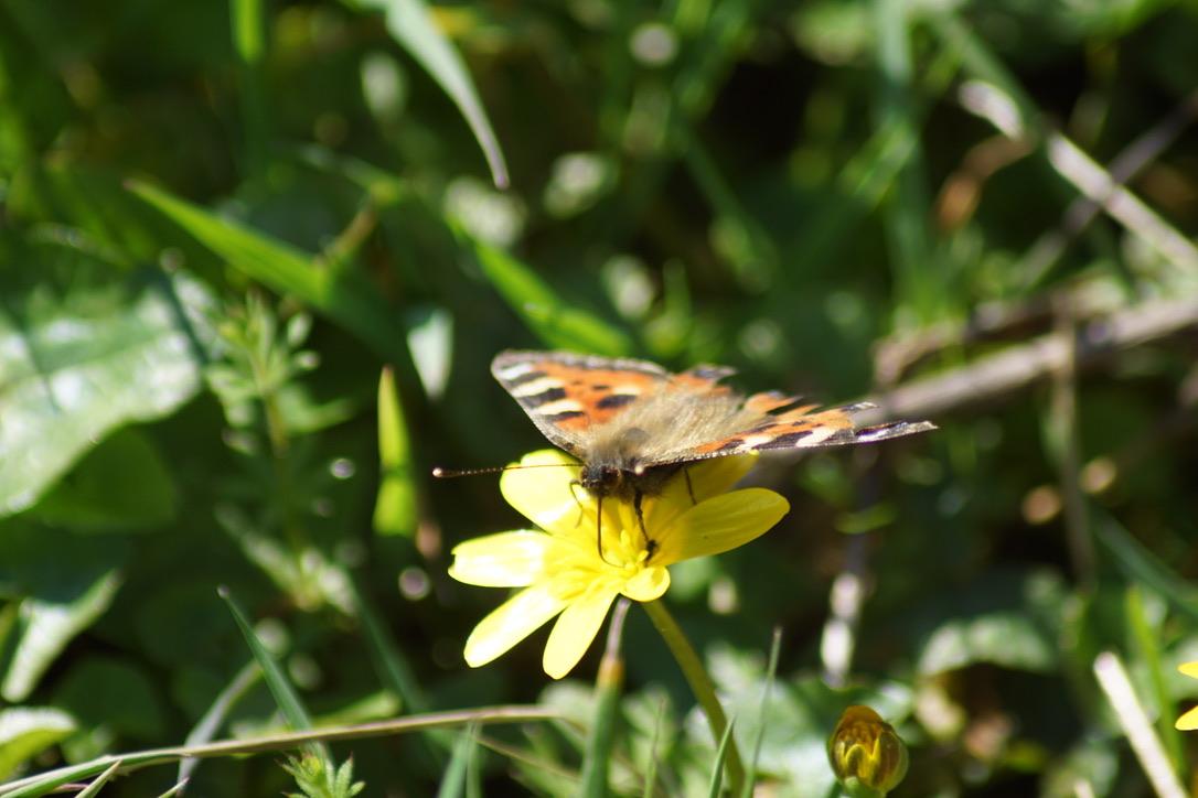 Tortoiseshell butterfly on Lesser celandine