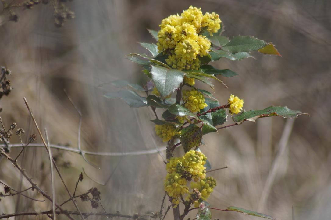 Mahonia Aquifolium - garden escapee!