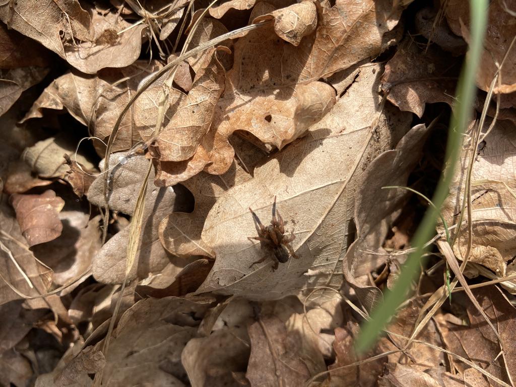 (Possibly) Ghost spider Zora spinimana
