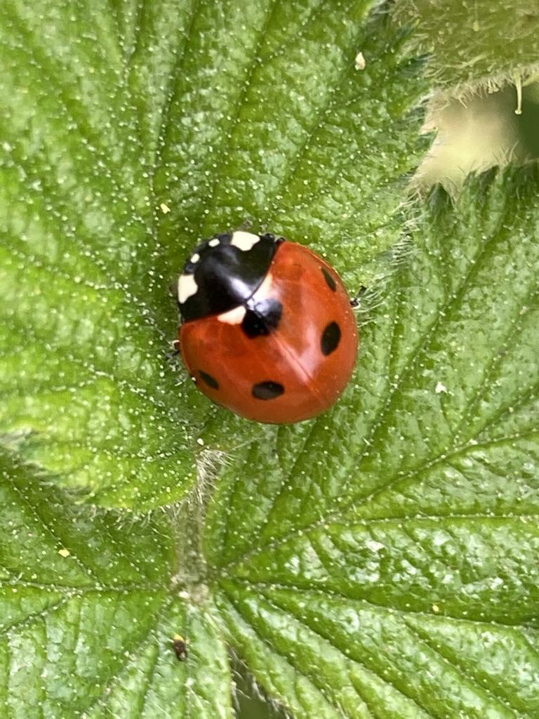 Five Spot Ladybird