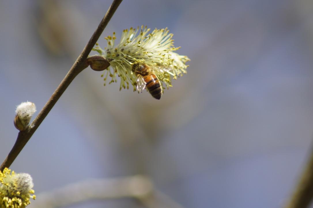 Honeybee on Goats Willow Catkins