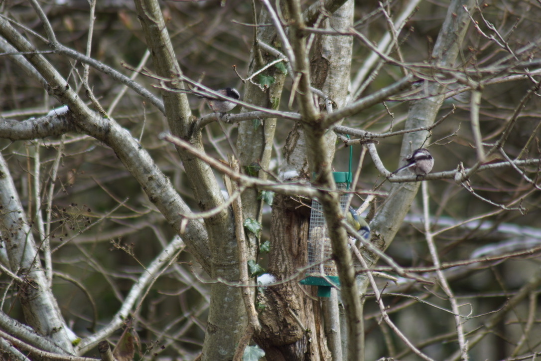 Blue Tit and long-tailed tits