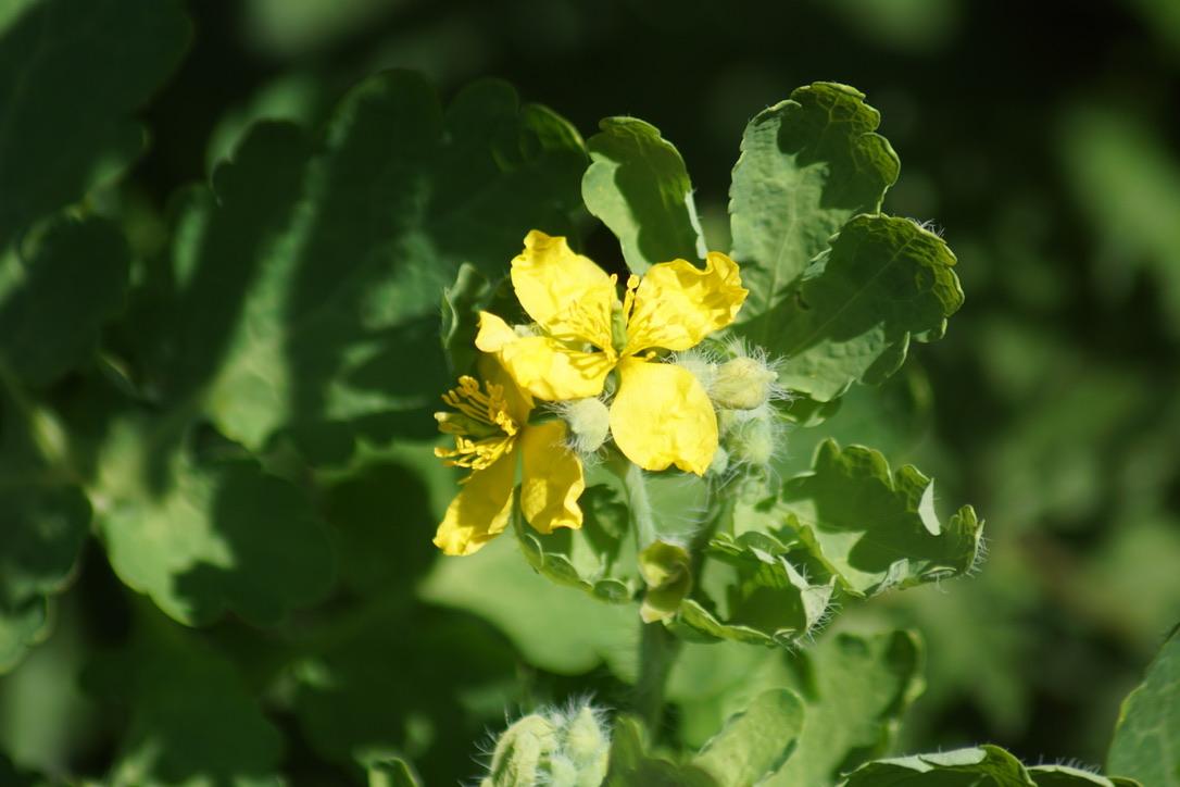Possibly Wild Turnip - Brassica rapa