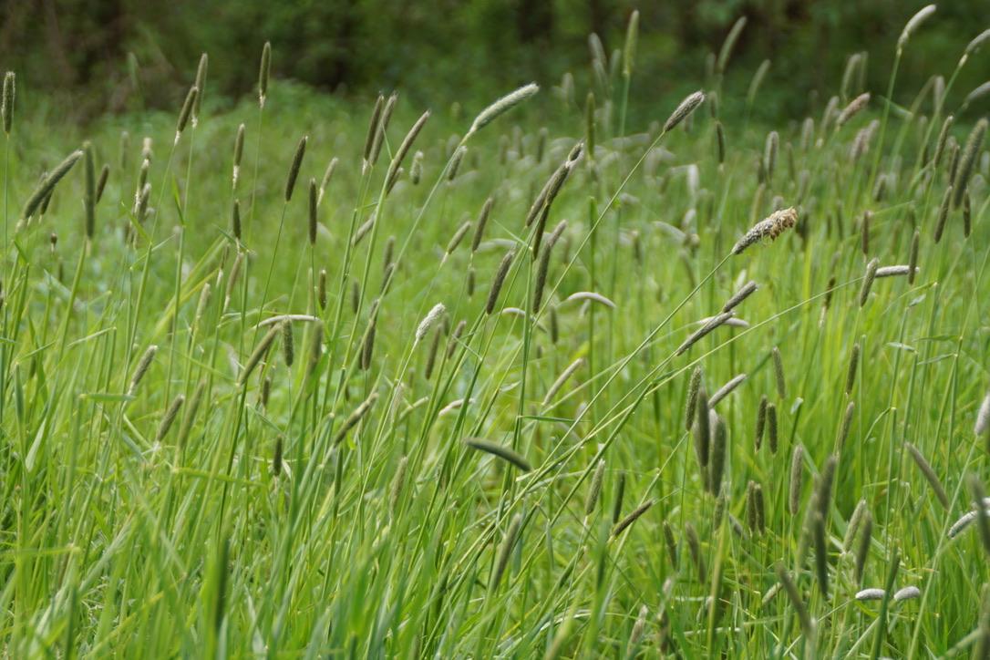 Grass- Timothy