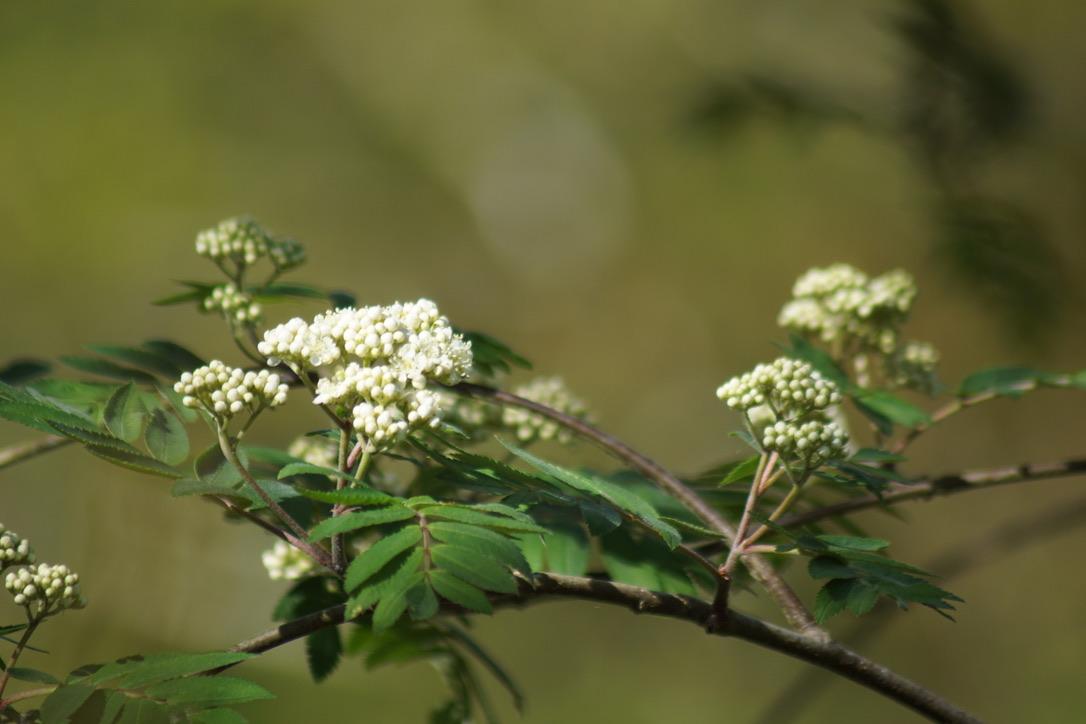 Rowan Tree - Flowers