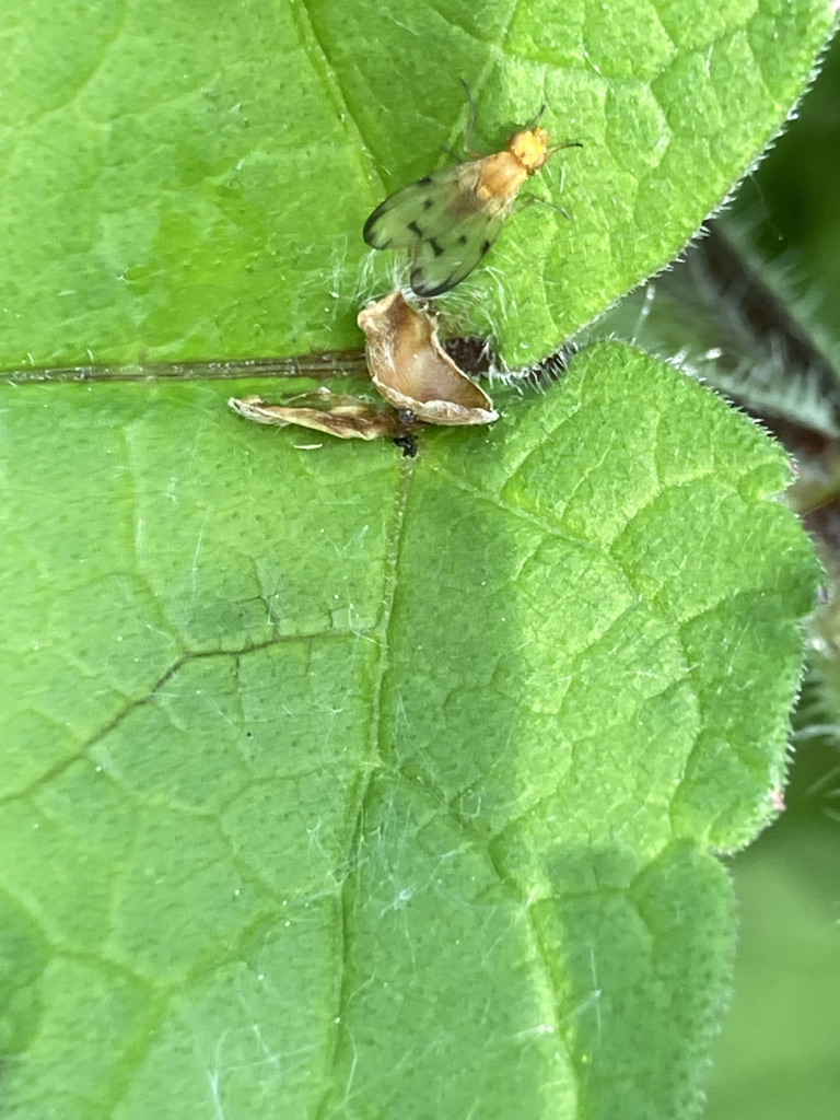 Fly - Palloptera quinquemaculata