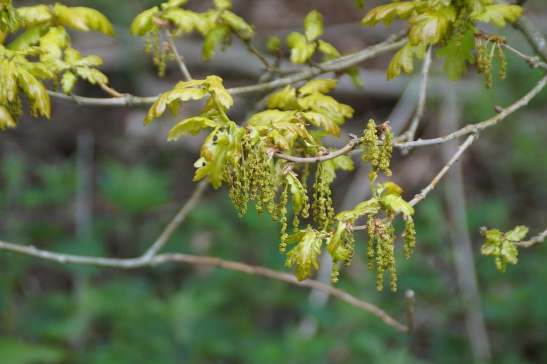 Male flowers on Oak