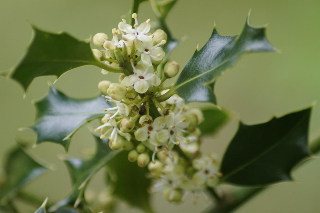 Holly in flower