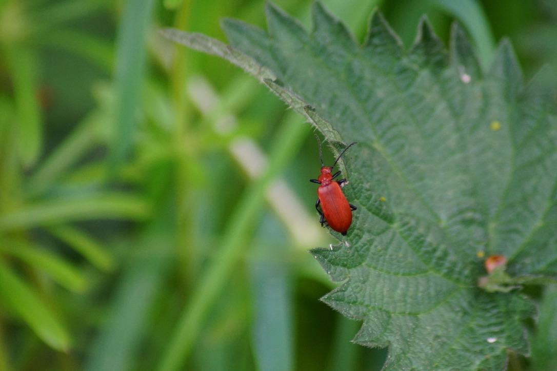 Cardinal Beetle - Pyrochroa serraticornis