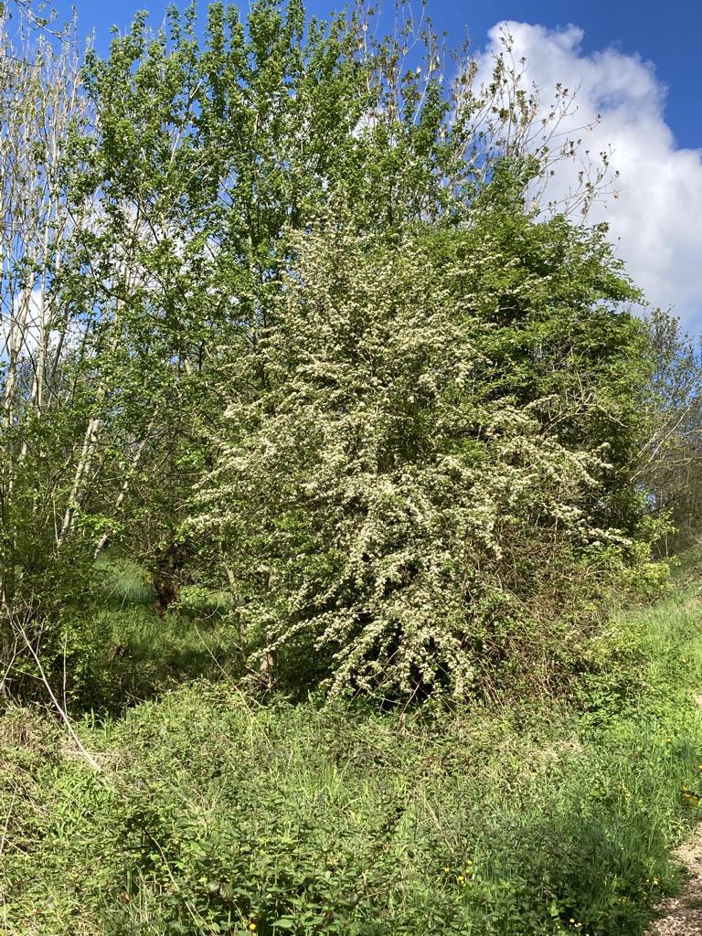 Hawthorn - May