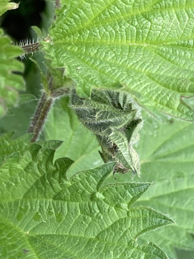 Small Tortoiseshell chrysalis - inside nettle leaf