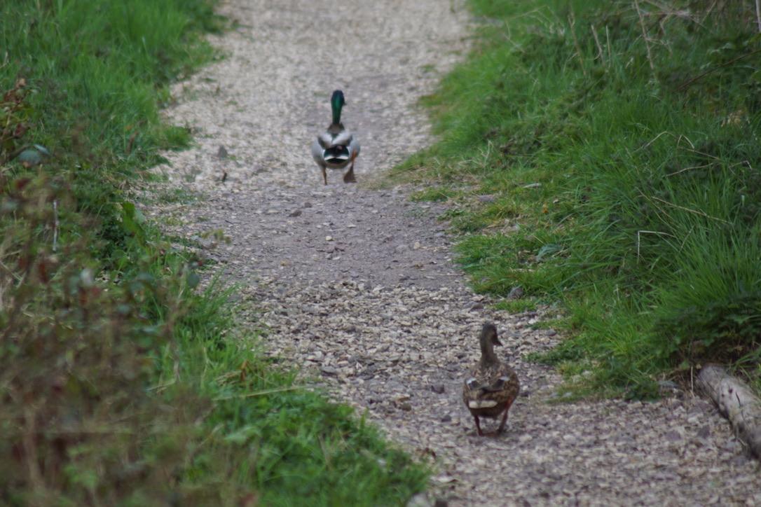 The Mallards go for a walk